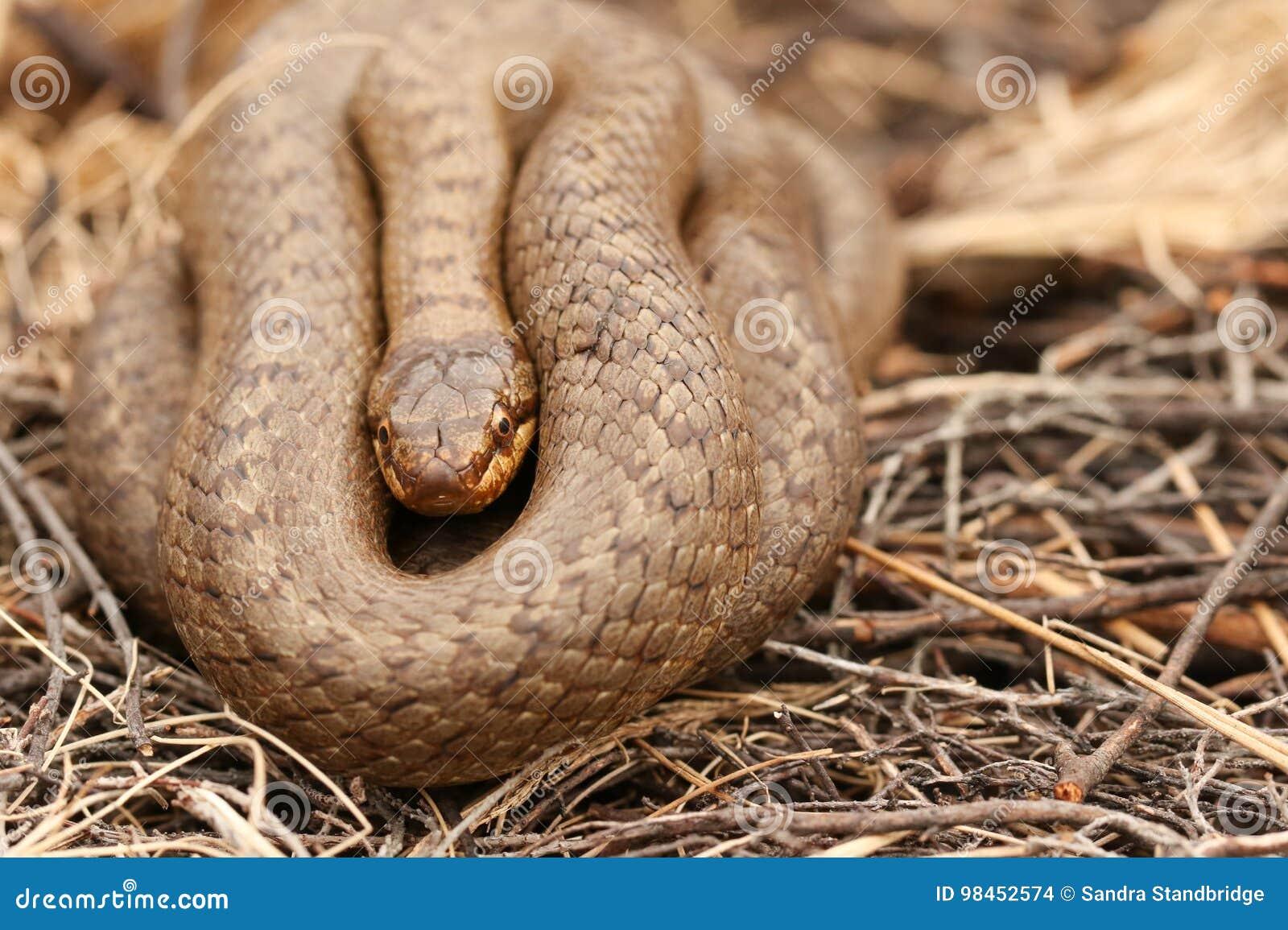 Un austriaca lisse rare de Coronella de serpent a lové dans la broussaille