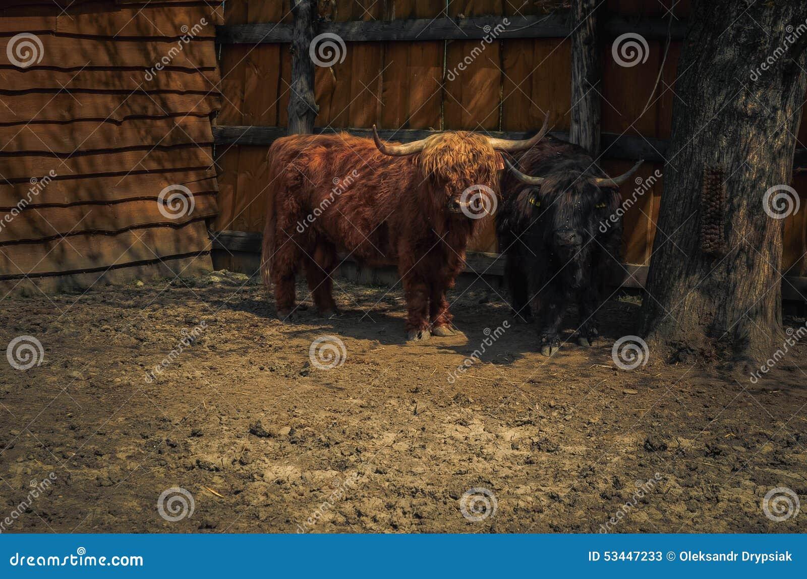 Un búfalo que mira en la cámara