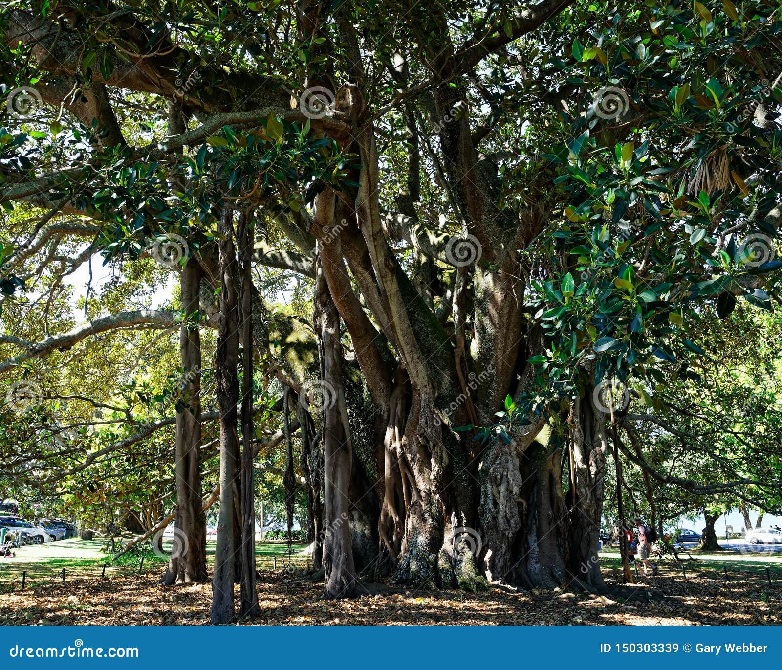 Un banian a appelé Albert, Devonport, Nouvelle-Zélande