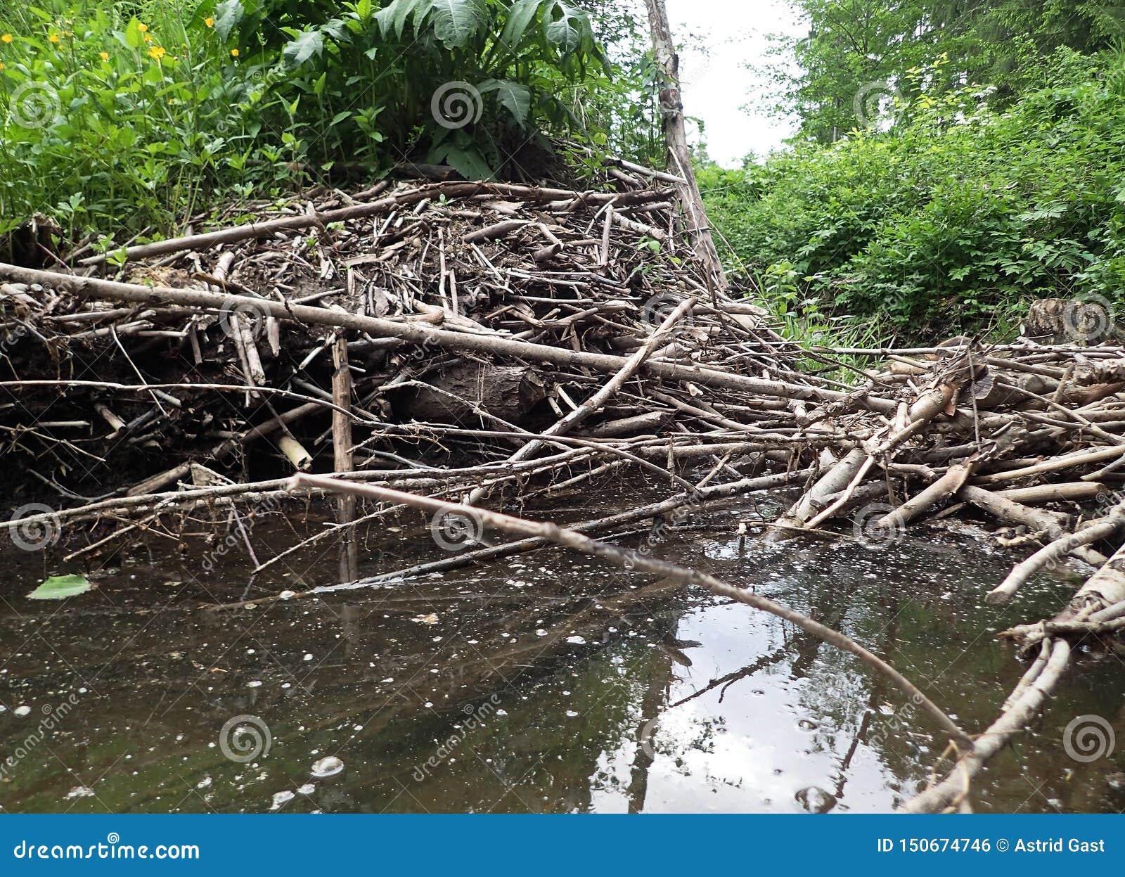 Un barrage construit par les castors et le château de castor sur une rivière