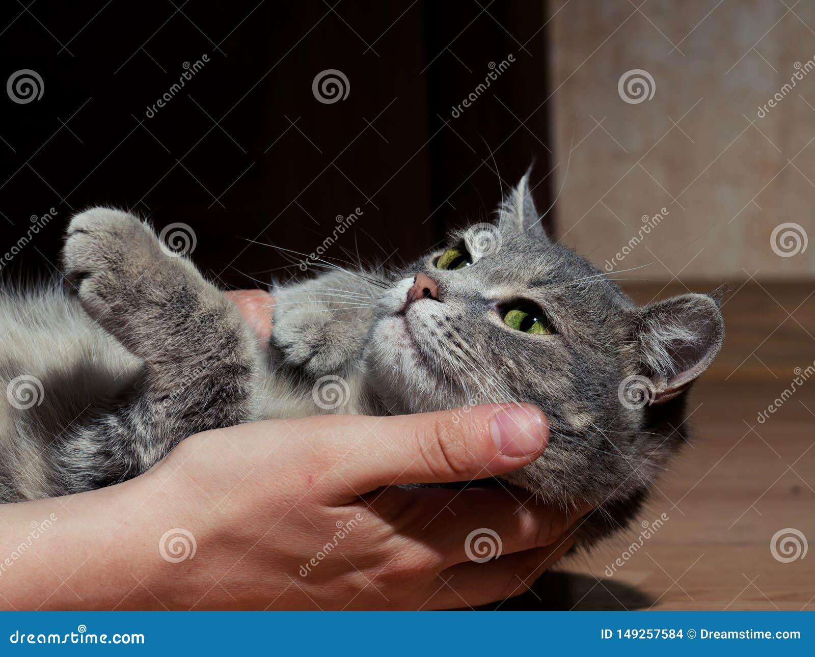 Un beau chat gris avec les rayures noires et blanches jouant avec un homme sur le plancher Plan rapproch? Le chat est fatigu? du