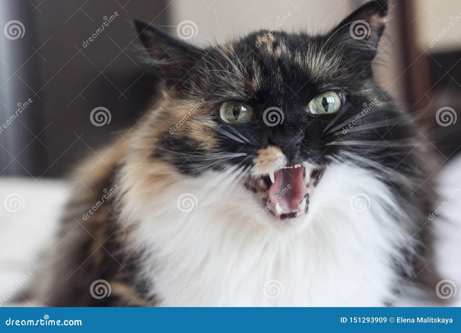 Un beau chat tricolore mauvais découvre ses dents