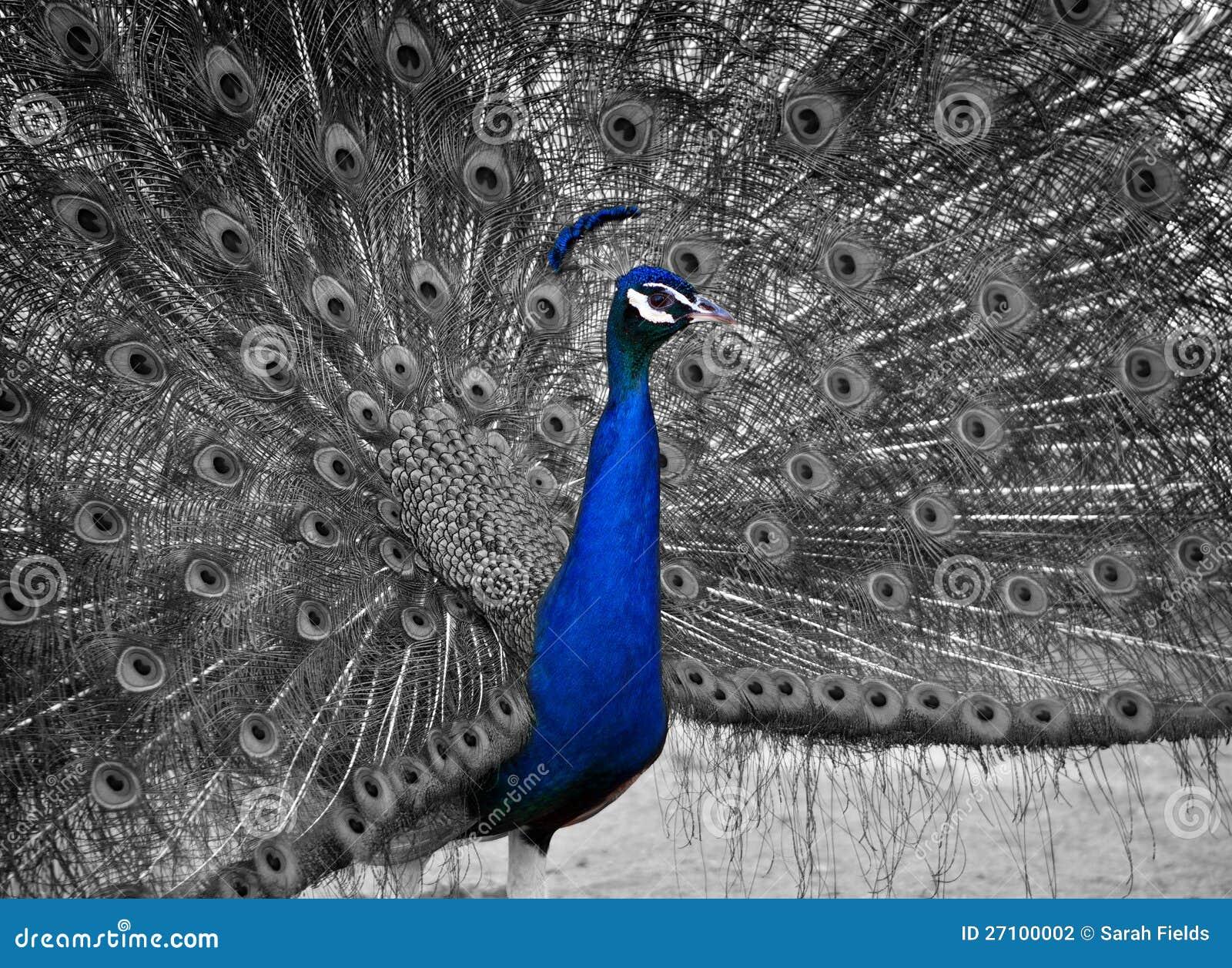 Un beau paon mâle affiche son plumage