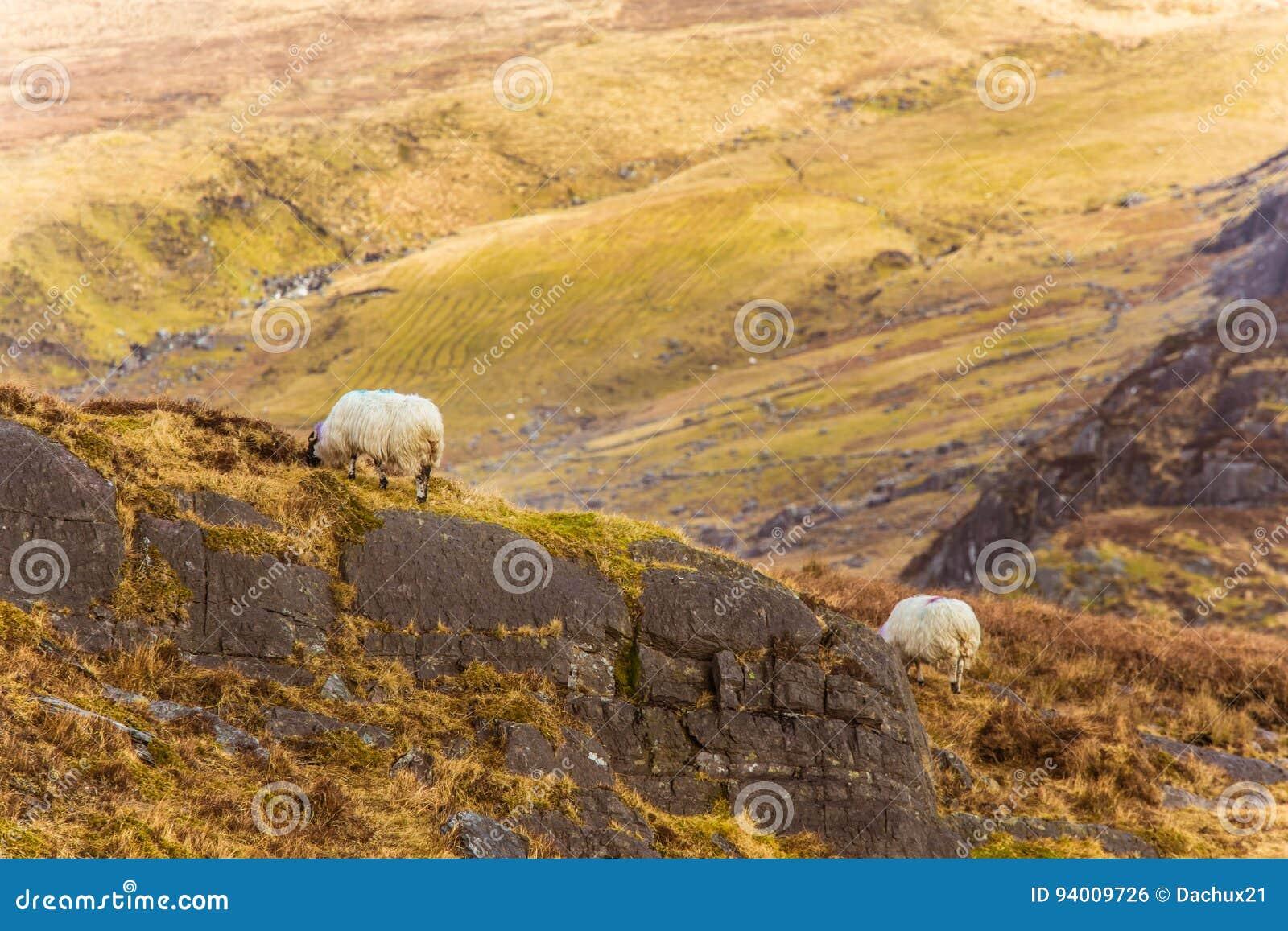 Un beau paysage irlandais de montagne au printemps avec des moutons