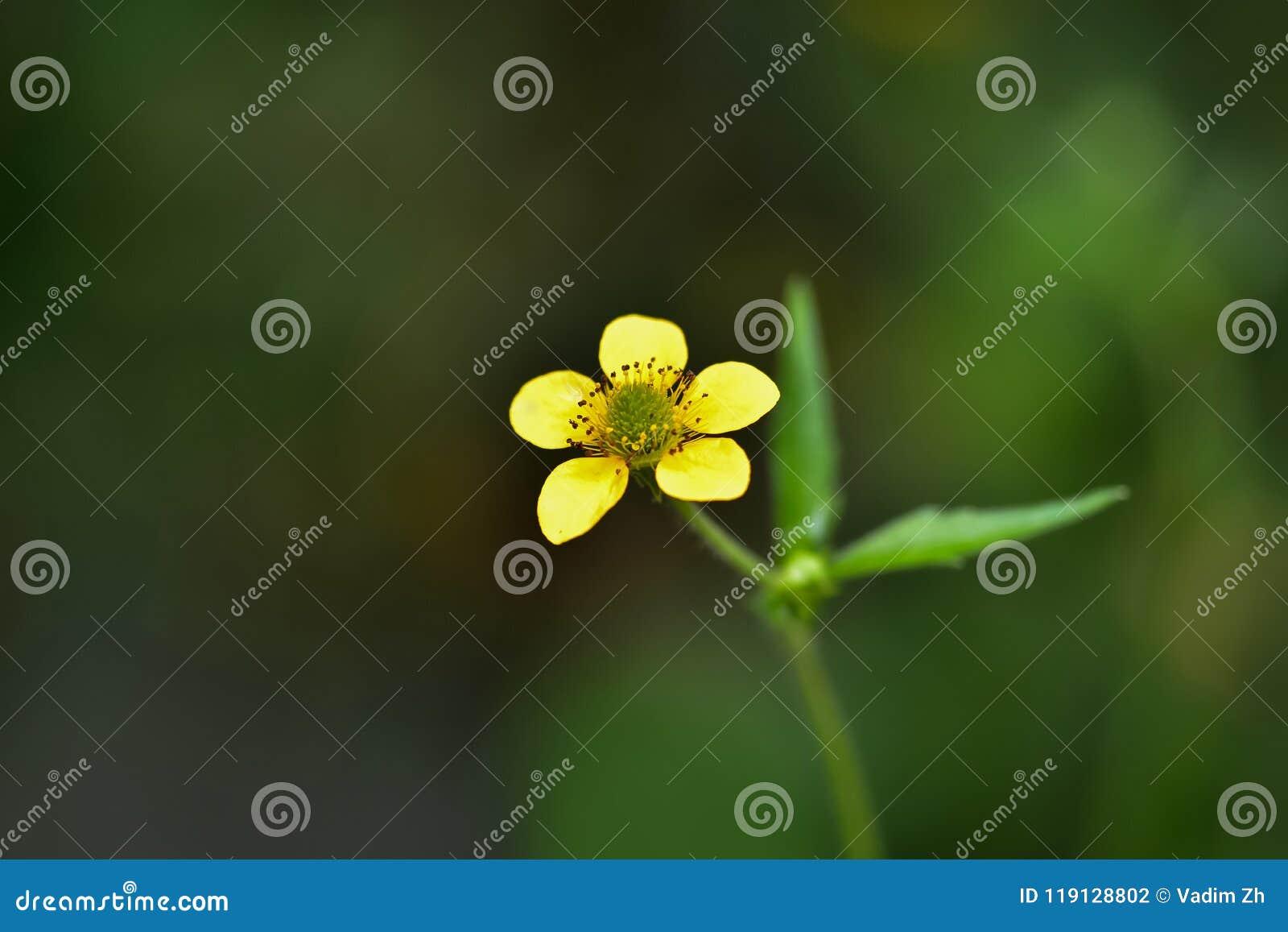 Un beau petit pré jaune de fleur, renoncule grande sur un fond foncé