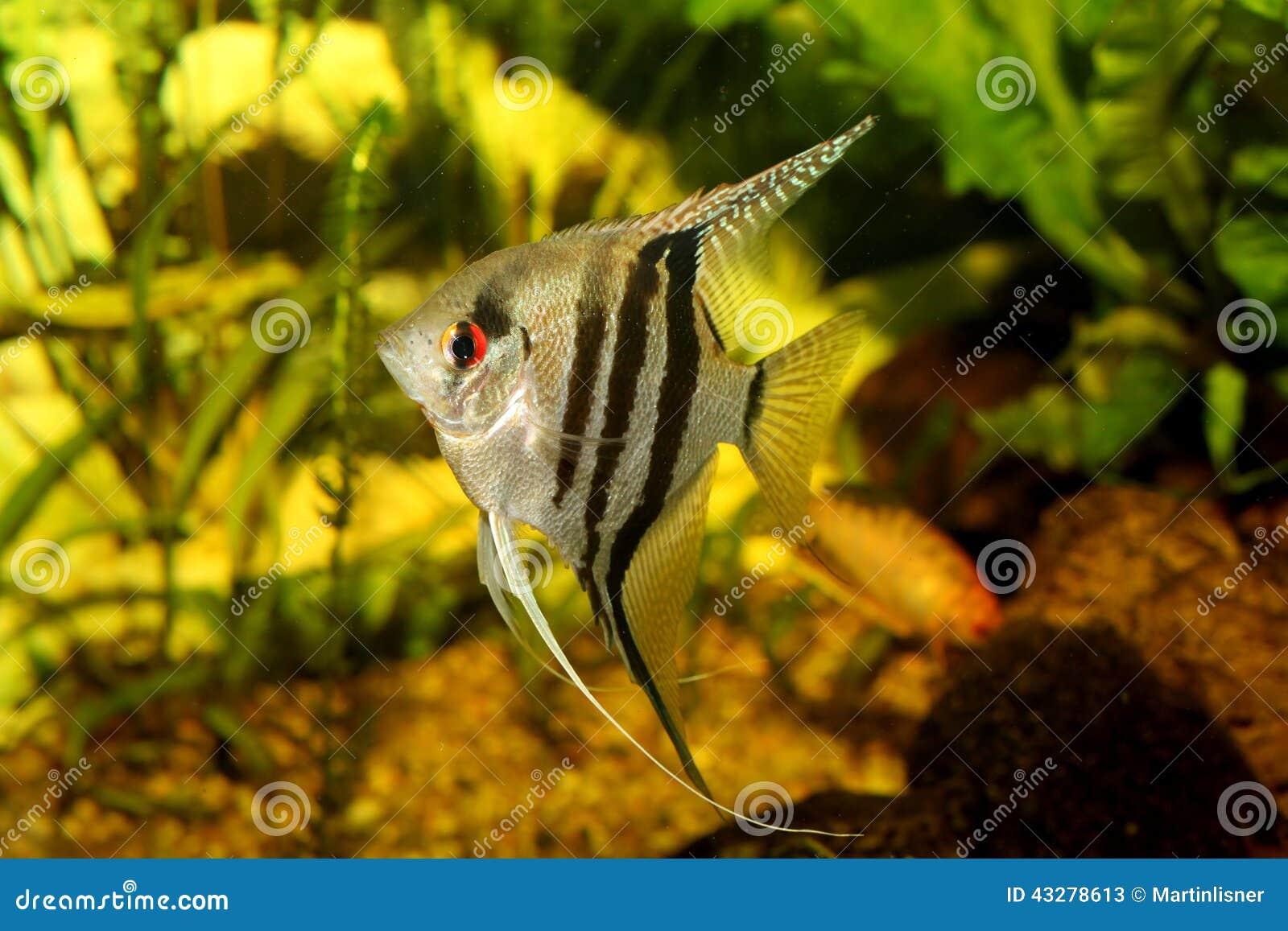 Un bello acquario d 39 acqua dolce tropicale piantato verde for Arredamento acquario dolce