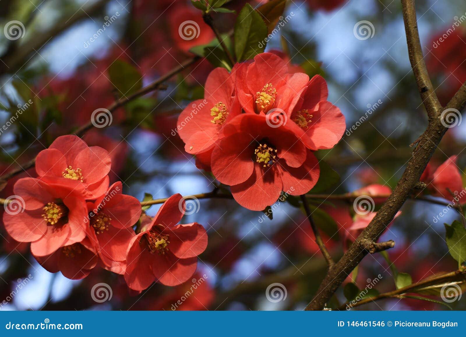 Fiori Gialli Con Pistilli Rossi.Un Bello Fiore Rosso Con Il Pistillo Giallo Fotografia Stock