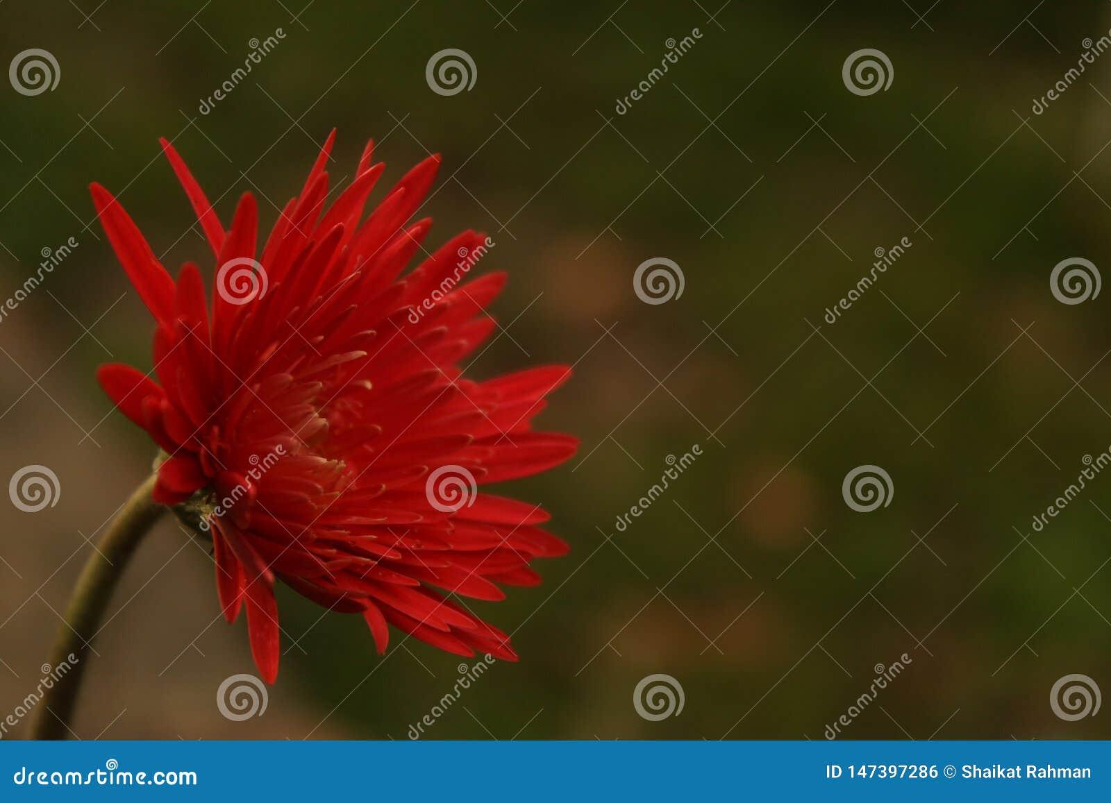 Un bello fiore rosso della margherita accanto ad un fiume