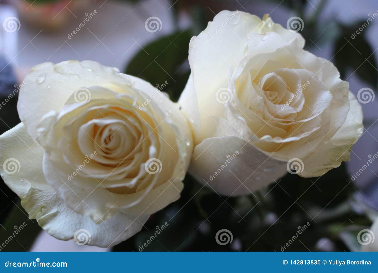 Un bello mazzo delle rose bianche farà appello a ad ogni donna La sua fragranza reale conquister? l ogni