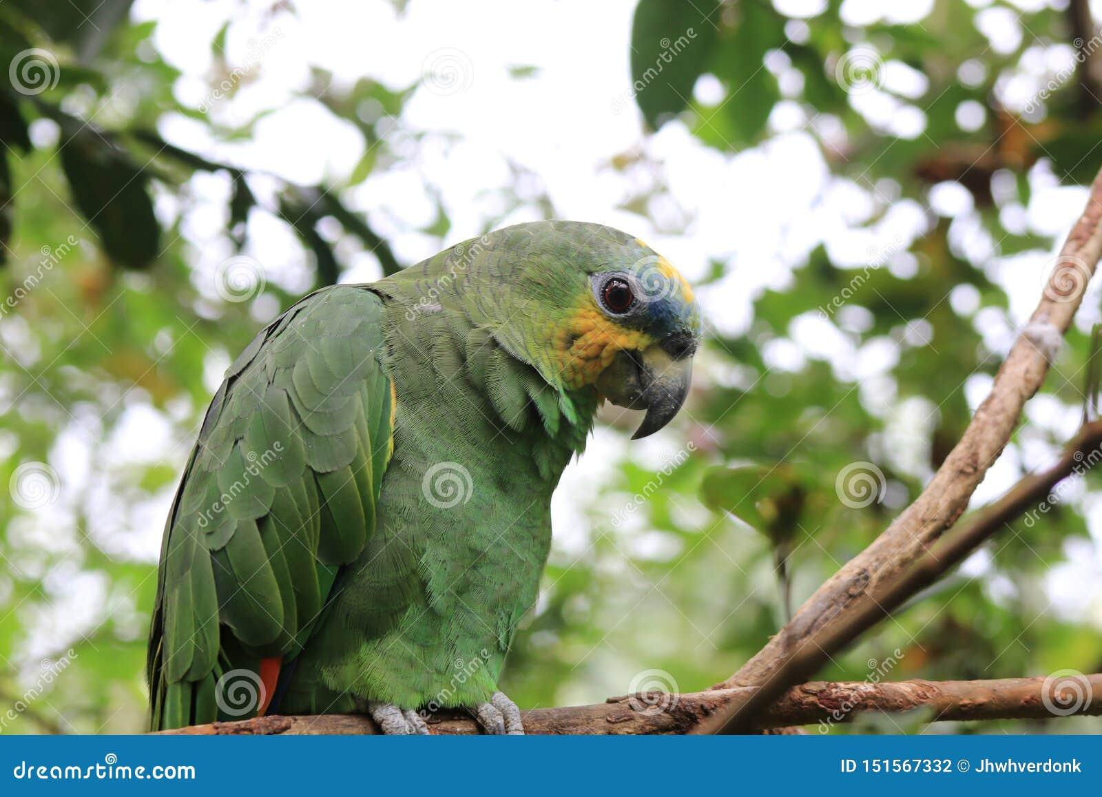 Un bello pappagallo farinoso che si siede su un ramo
