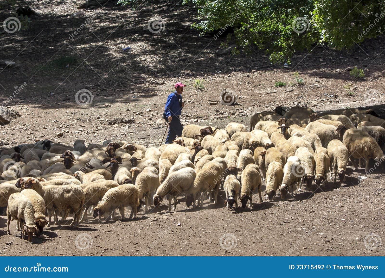 Un berger frôle ses moutons sur les montagnes près d Azrou au Maroc