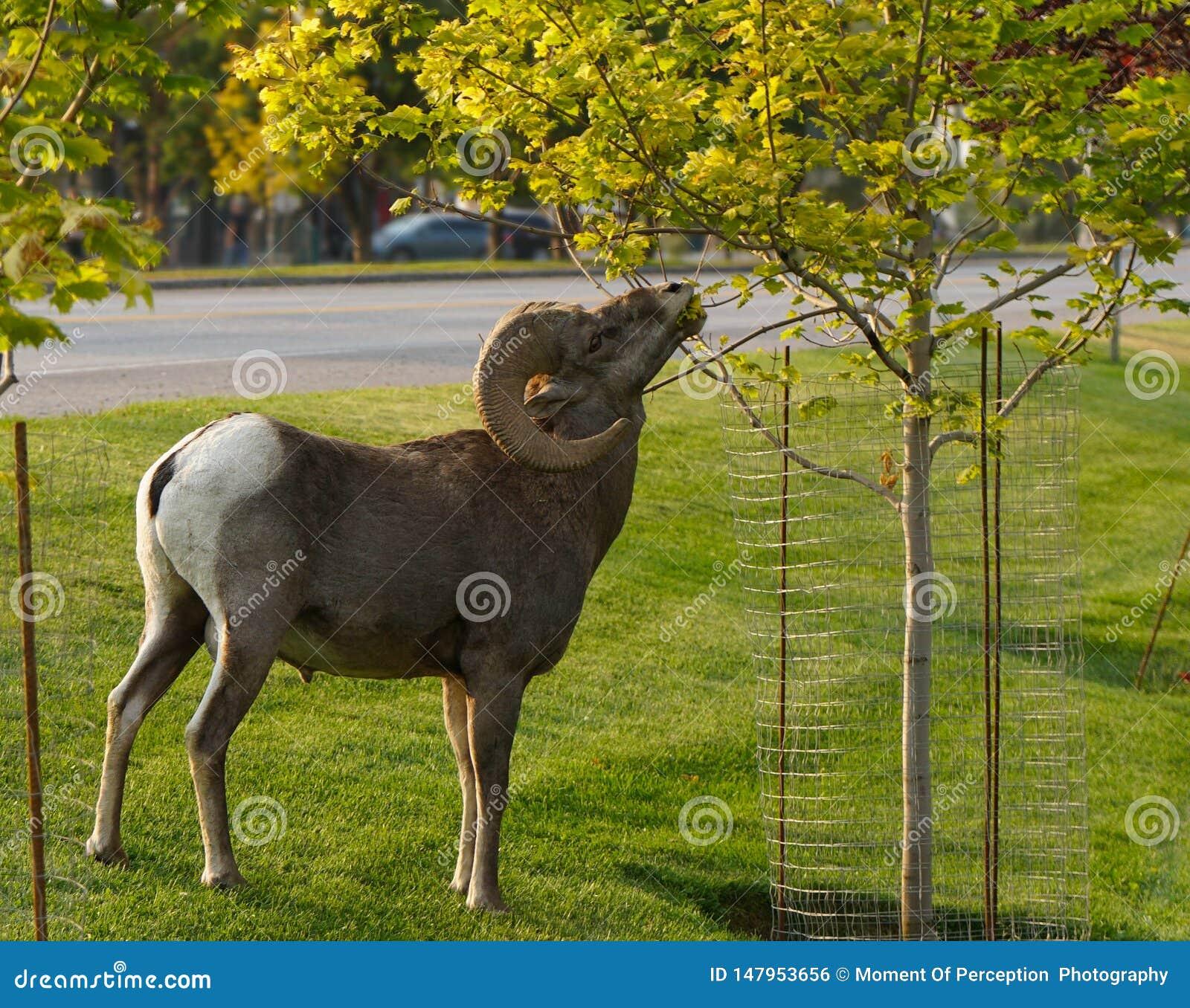 Un Bighorn Ram Looking para cierto Snacking de la ciudad