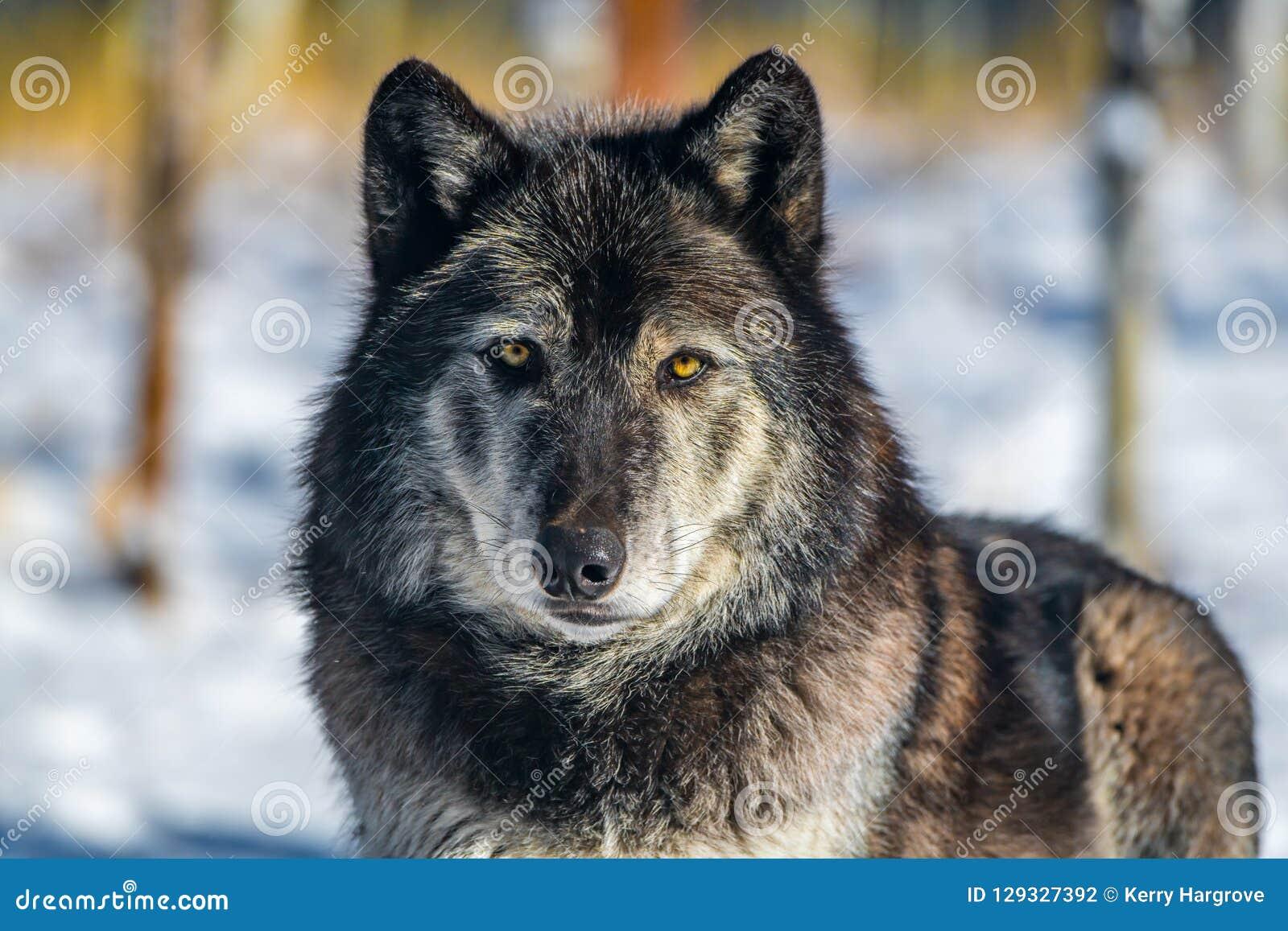 Un bois de construction Wolf Stare