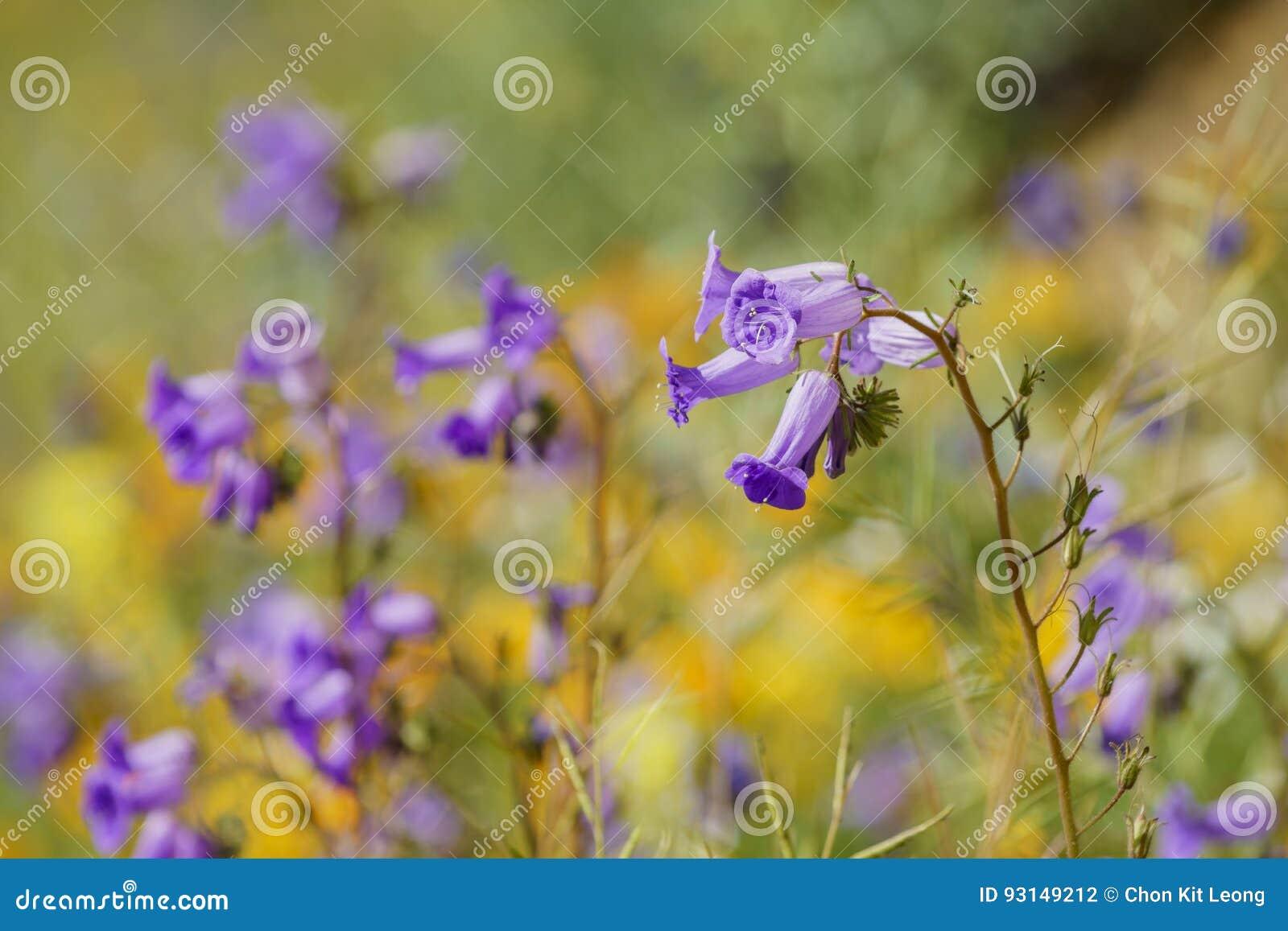 Un bon nombre de fleur de fleur sauvage chez Diamond Valley Lake