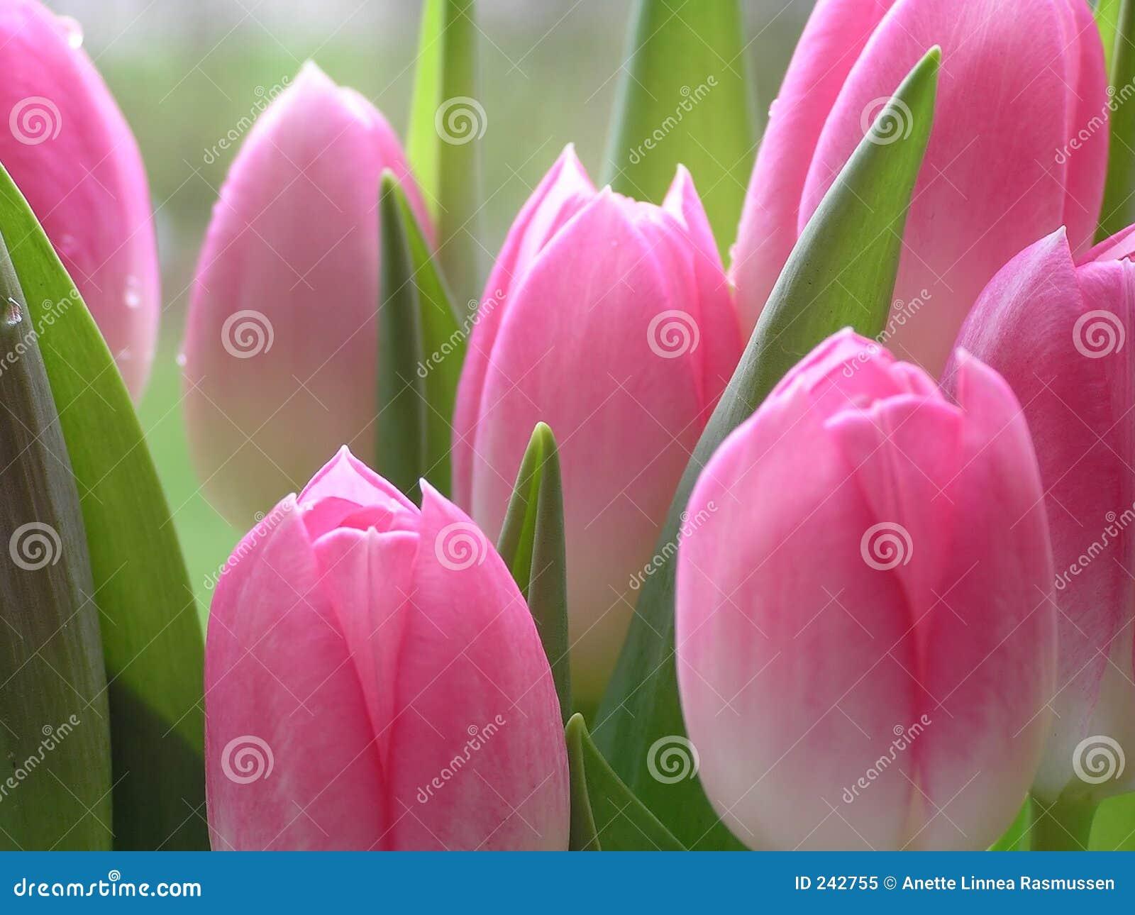 Un bon nombre de tulipes roses
