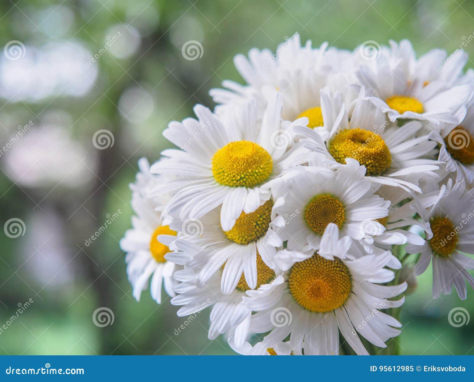 Un Bouquet Des Marguerites Blanches De Champ Sur Un Vert A Brouille