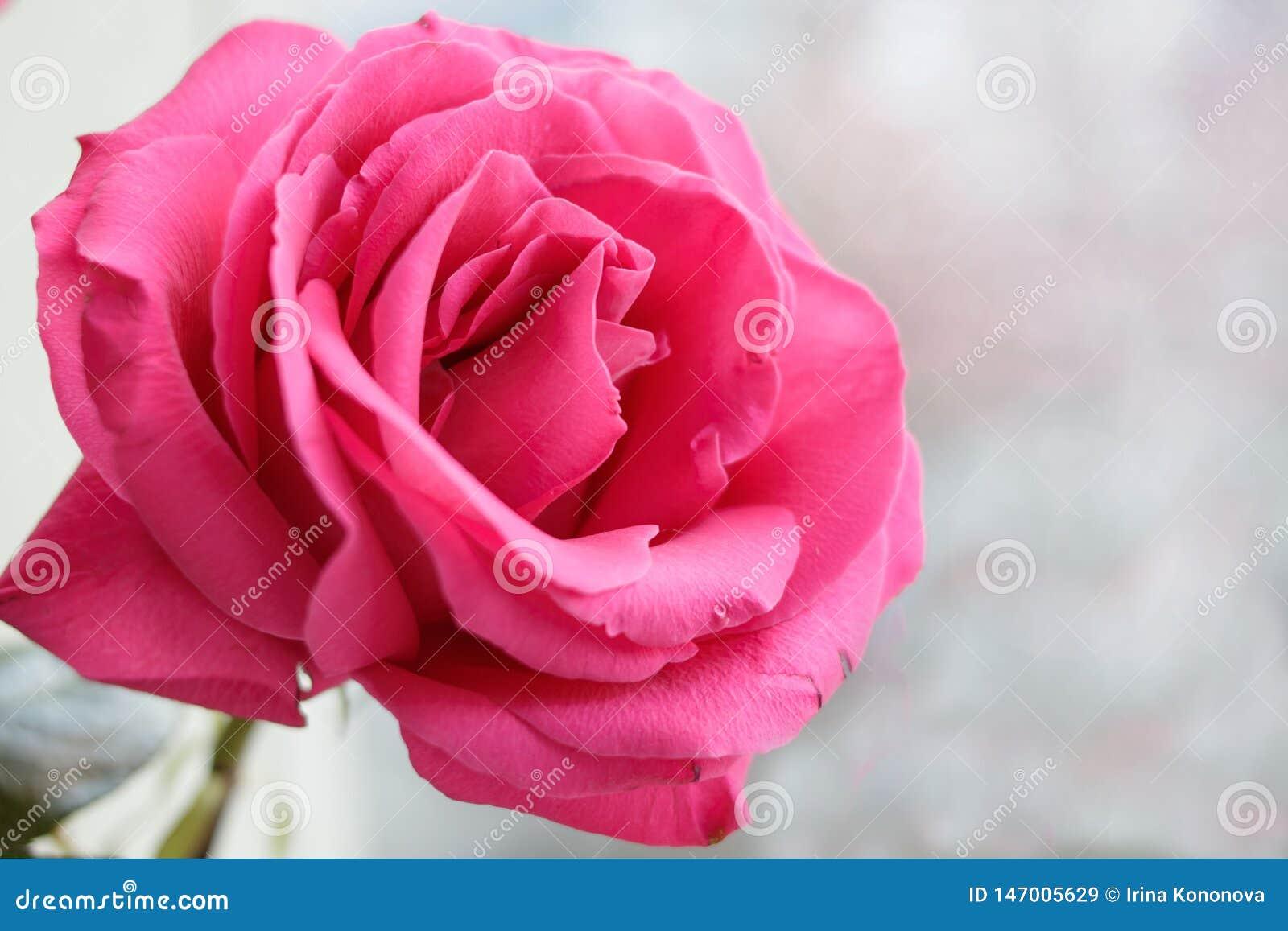 Un bourgeon d un rose tendre s est levé sur un fond brouillé