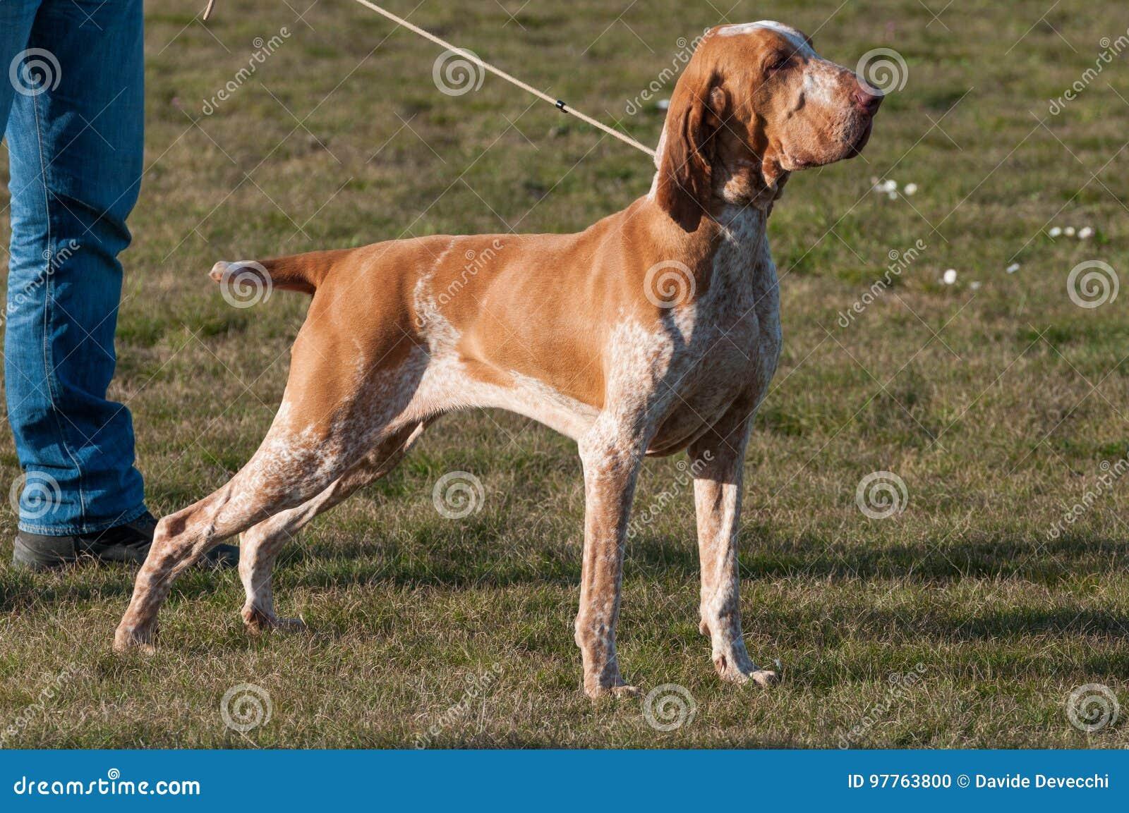 Un Bracco italiano, una raza punteaguda del perro de caza