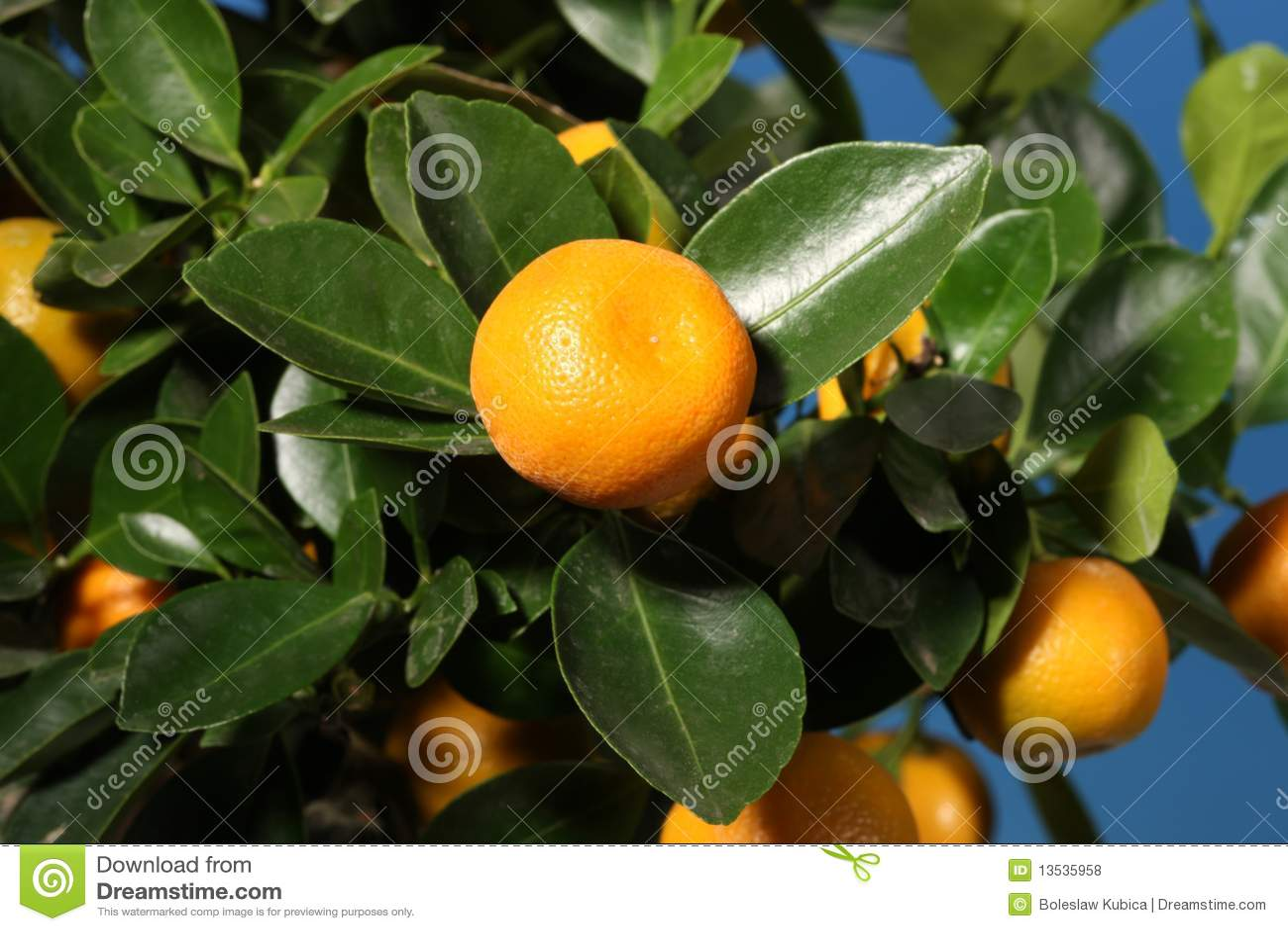 Un branchement avec des mandarines sur un arbre
