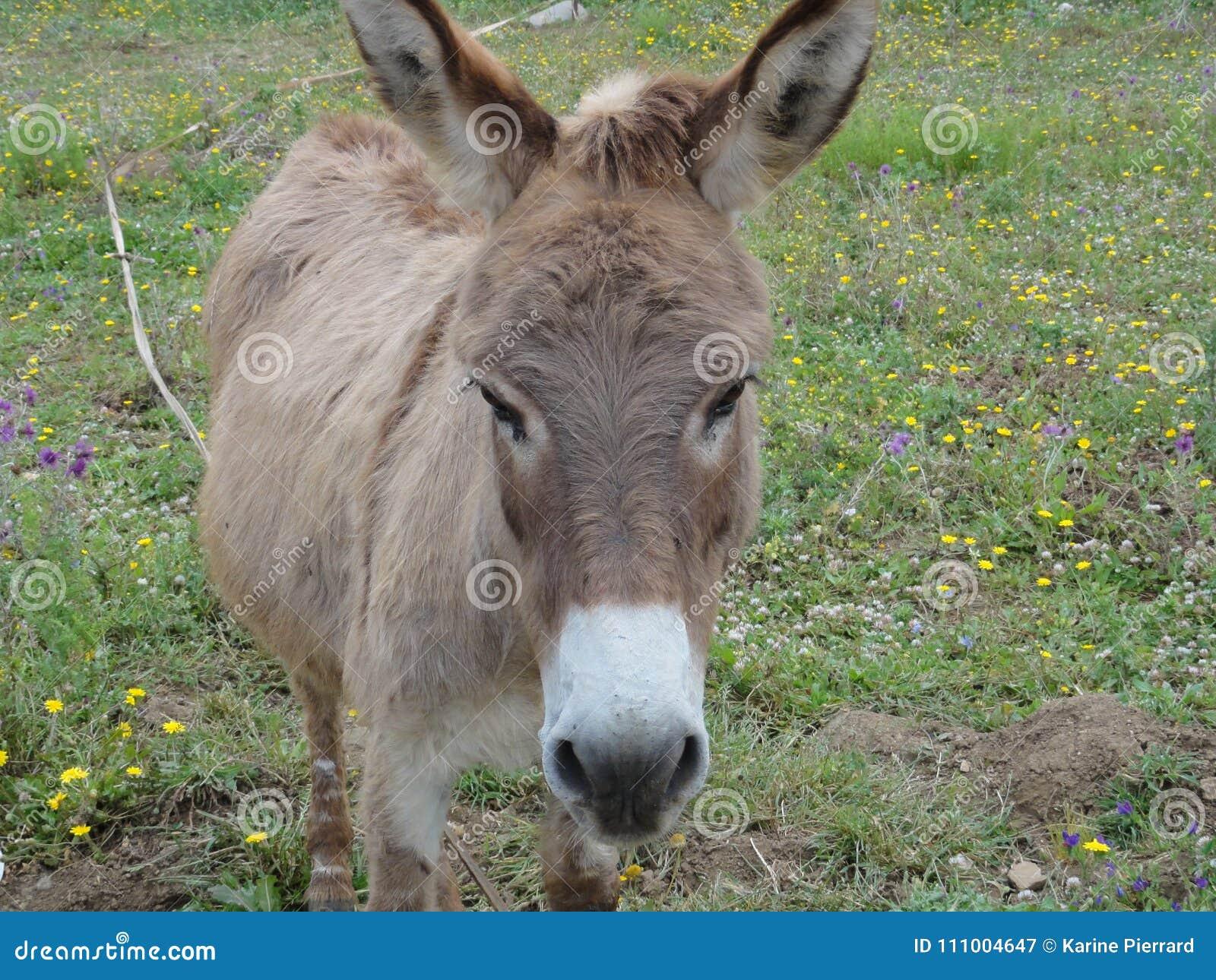 Un burro derecho de la cara