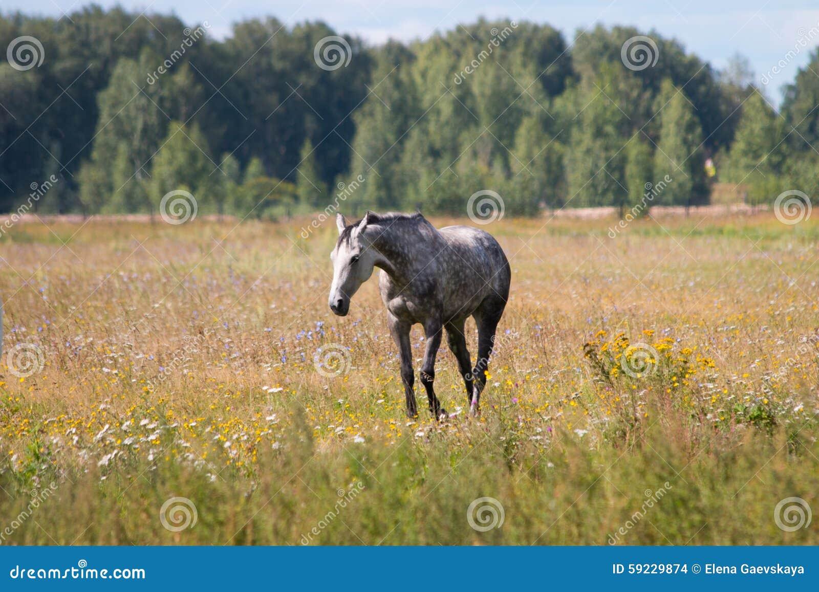 Un caballo gris del dapple que pasta en el prado de la flor