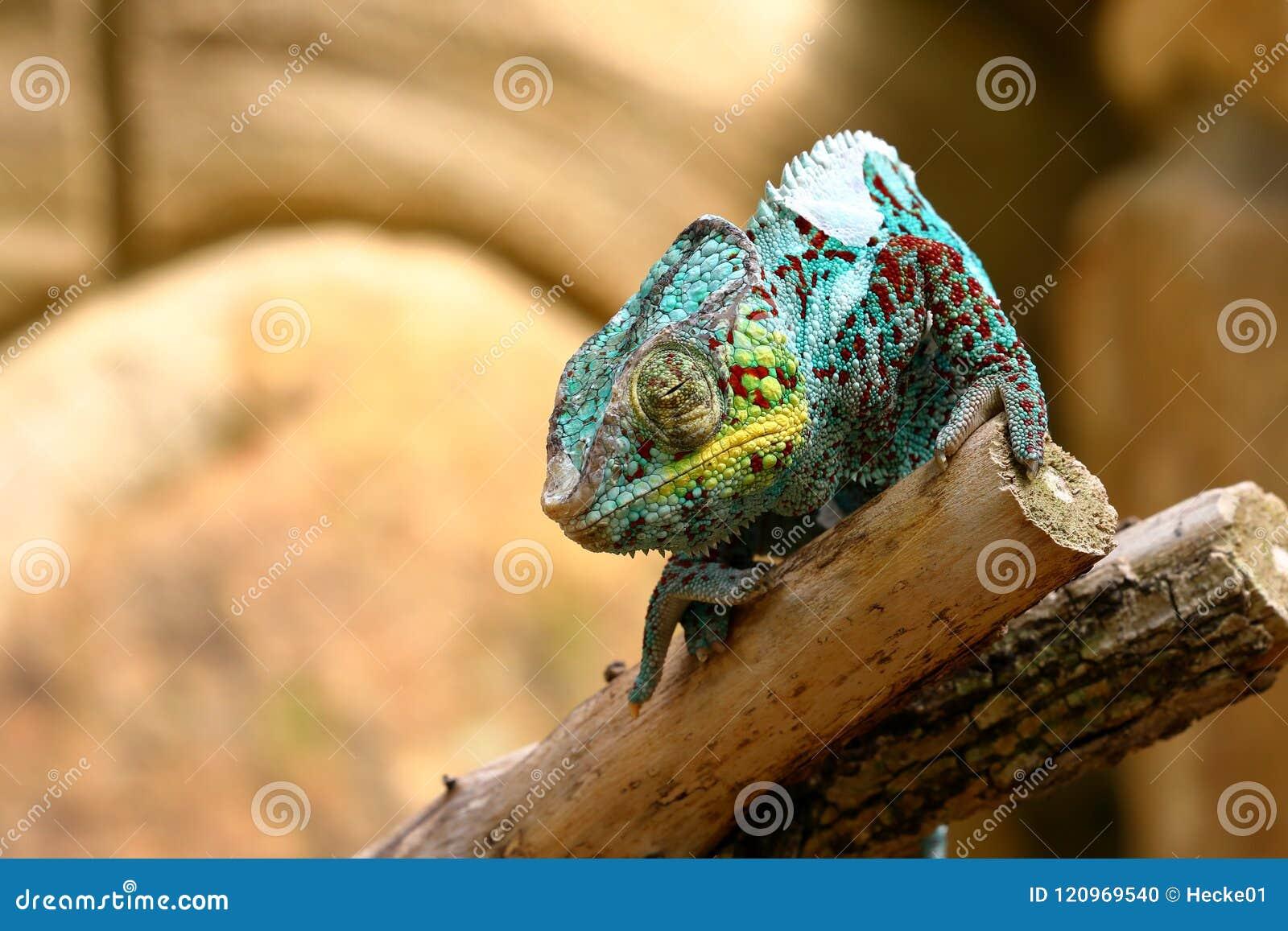 Un caméléon coloré
