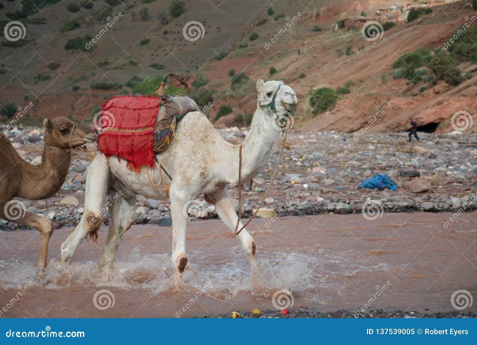 Un cammello guada un fiume
