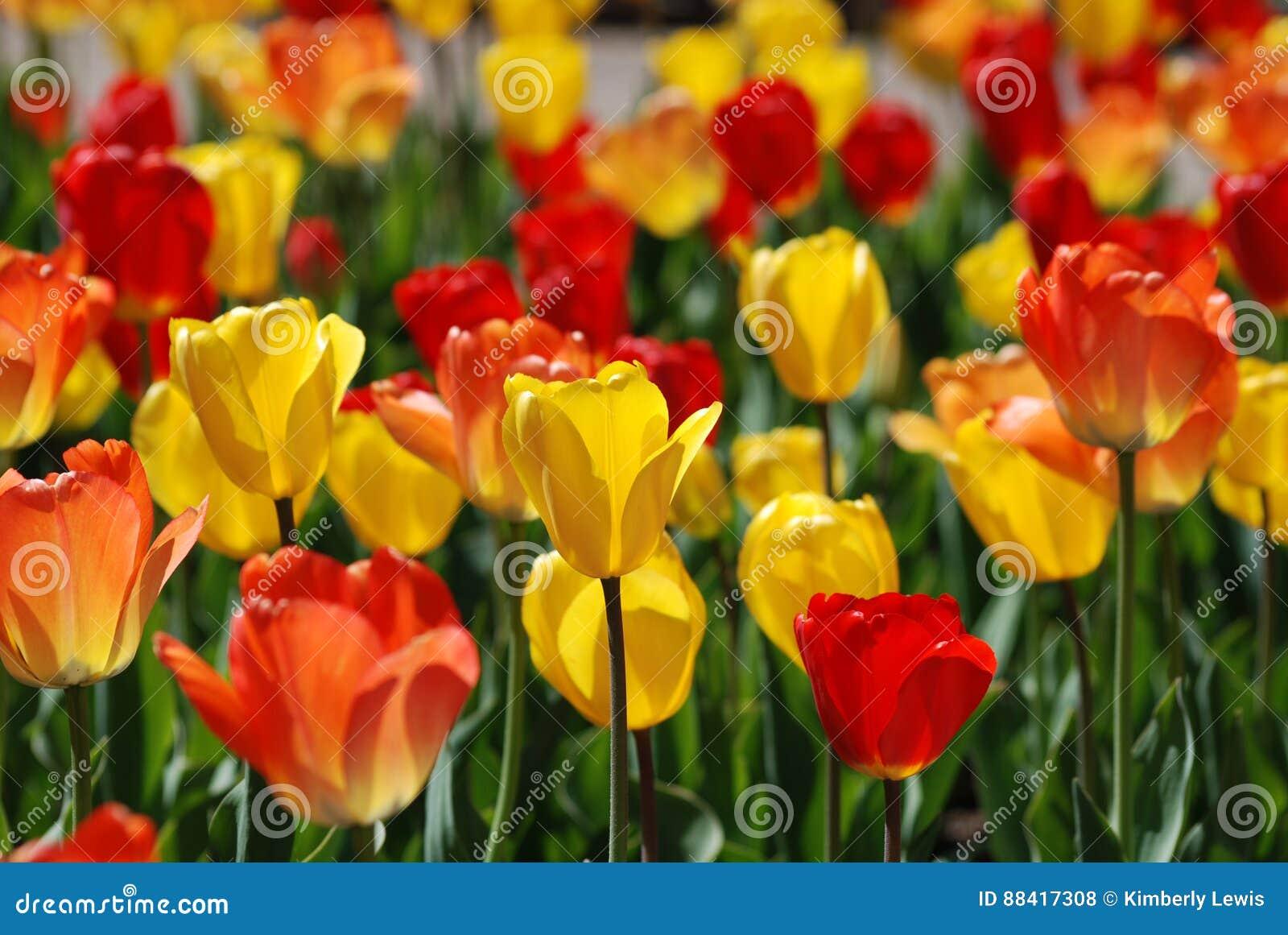 Un campo de tulipanes rojos y amarillos en la primavera