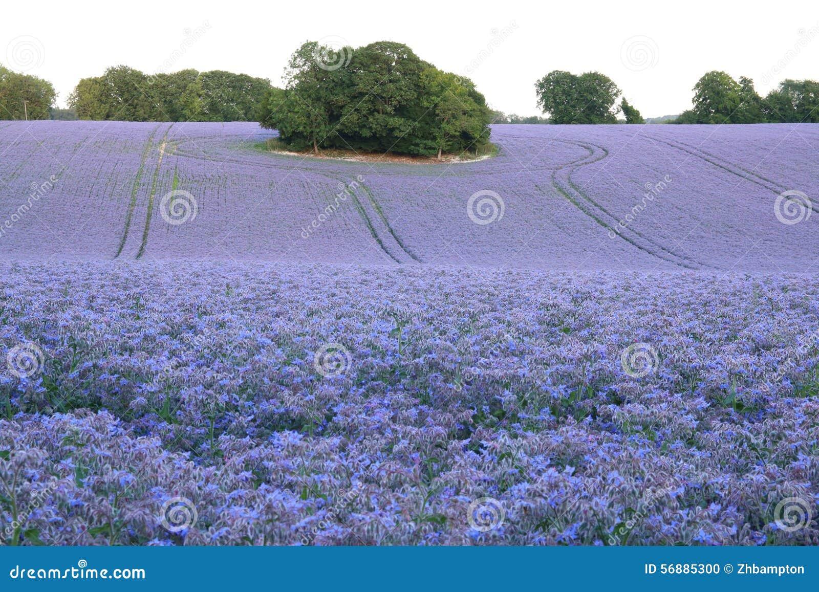 Un campo di belle piante della borragine