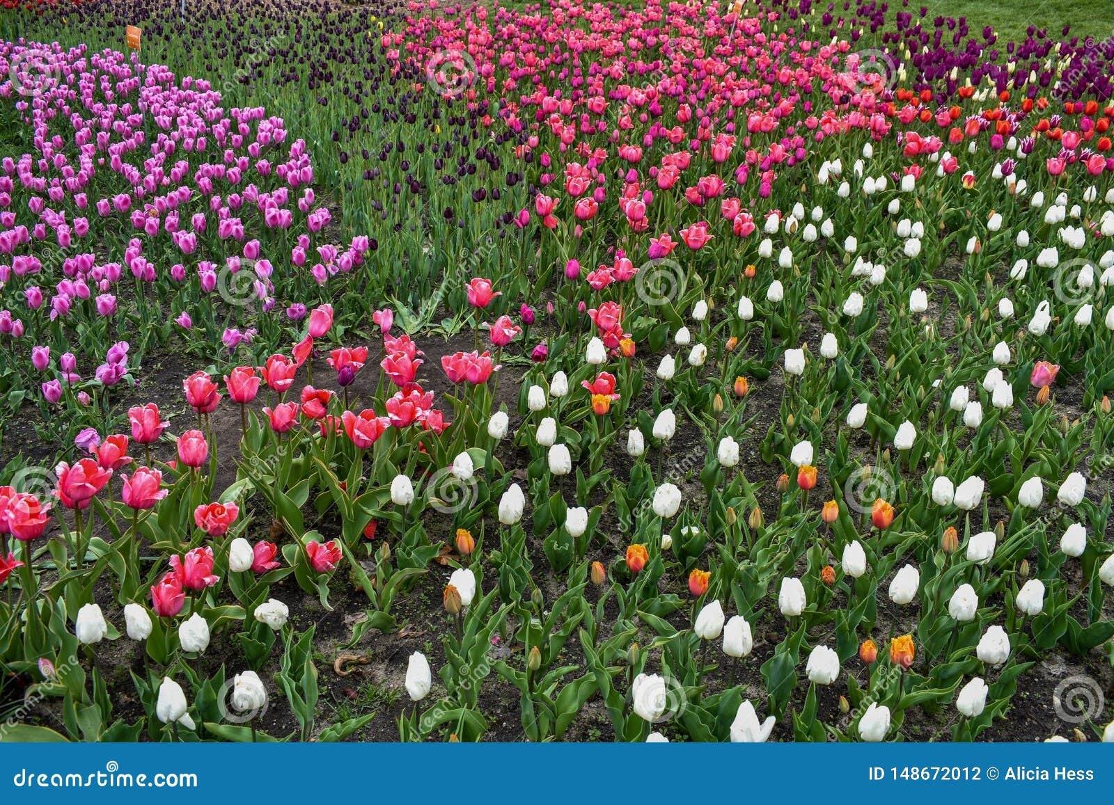 Un campo di multi tulipani colorati