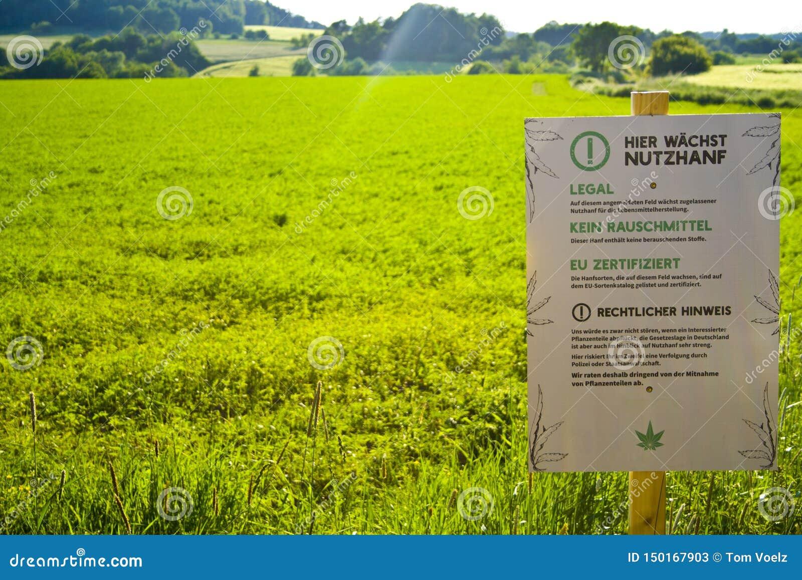 Un campo en Hesse, m Alemania del cáñamo Cultivo legal del cáñamo para la medicina o la comida