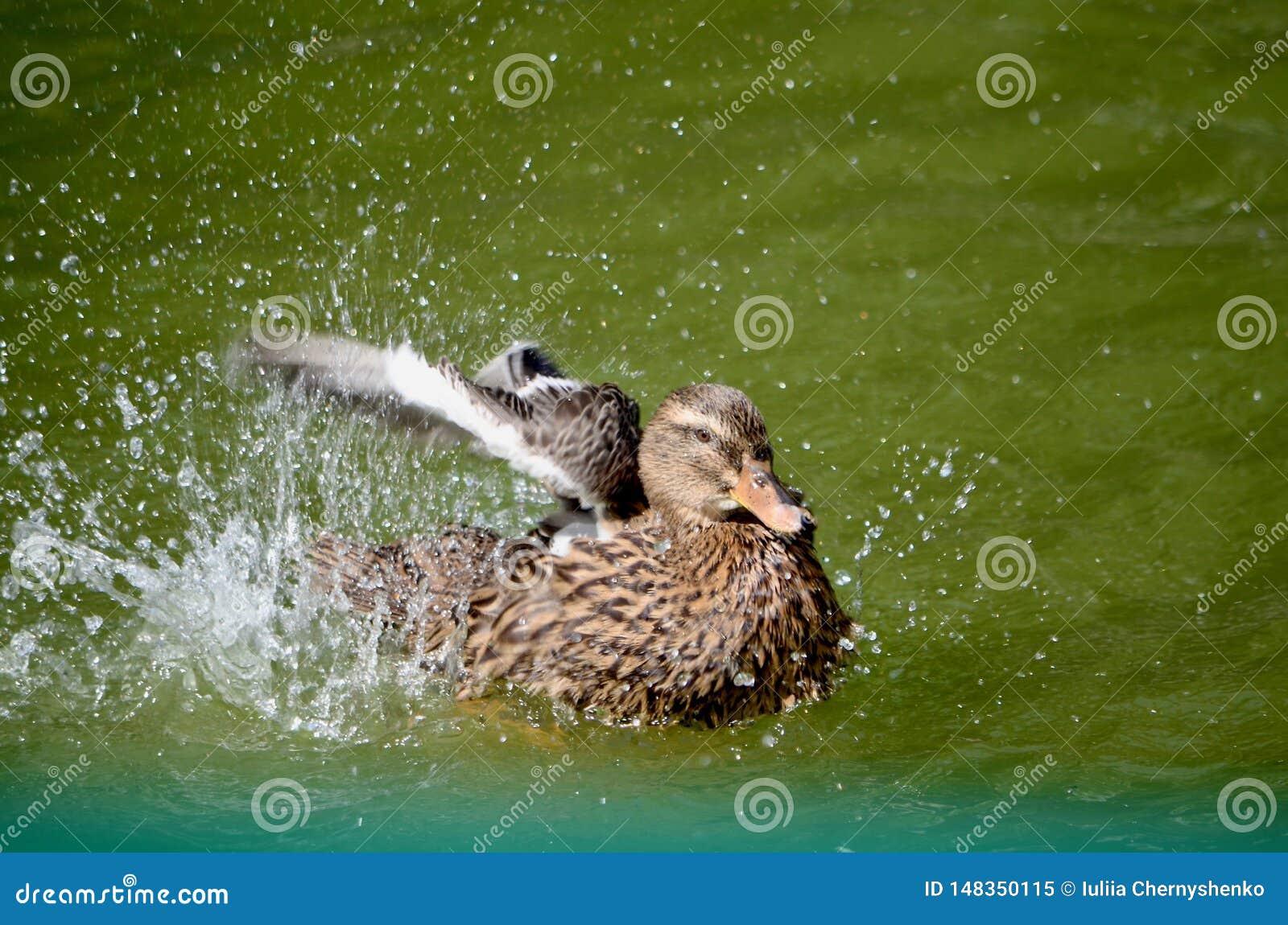 Un canard dans un ?tang agite ses ailes et ?clabousse