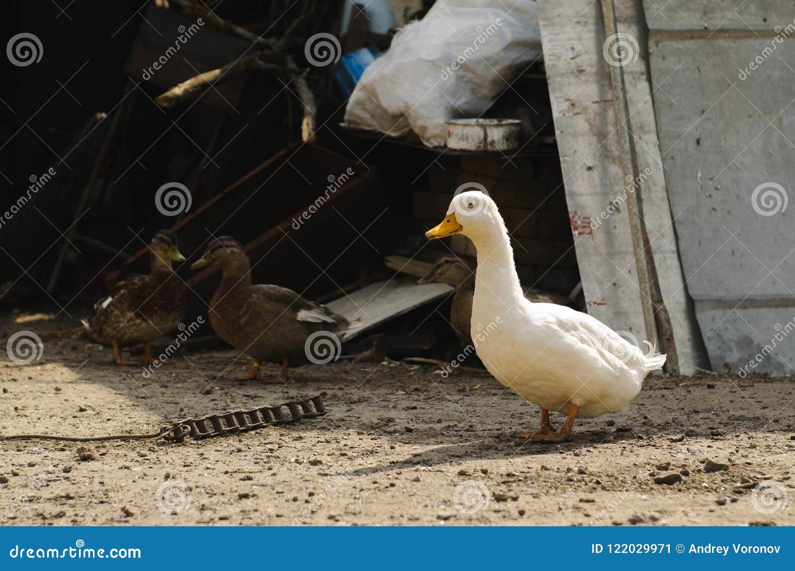 Un canard et brun deux blancs ceux dans la cour dans le village