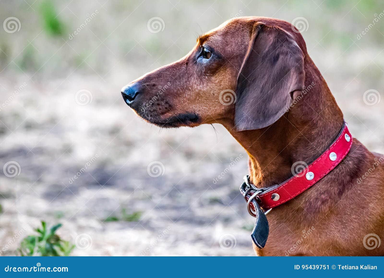 Un Cane Del Bassotto Tedesco Di Caccia Che Si Siede Su Una Radura Di