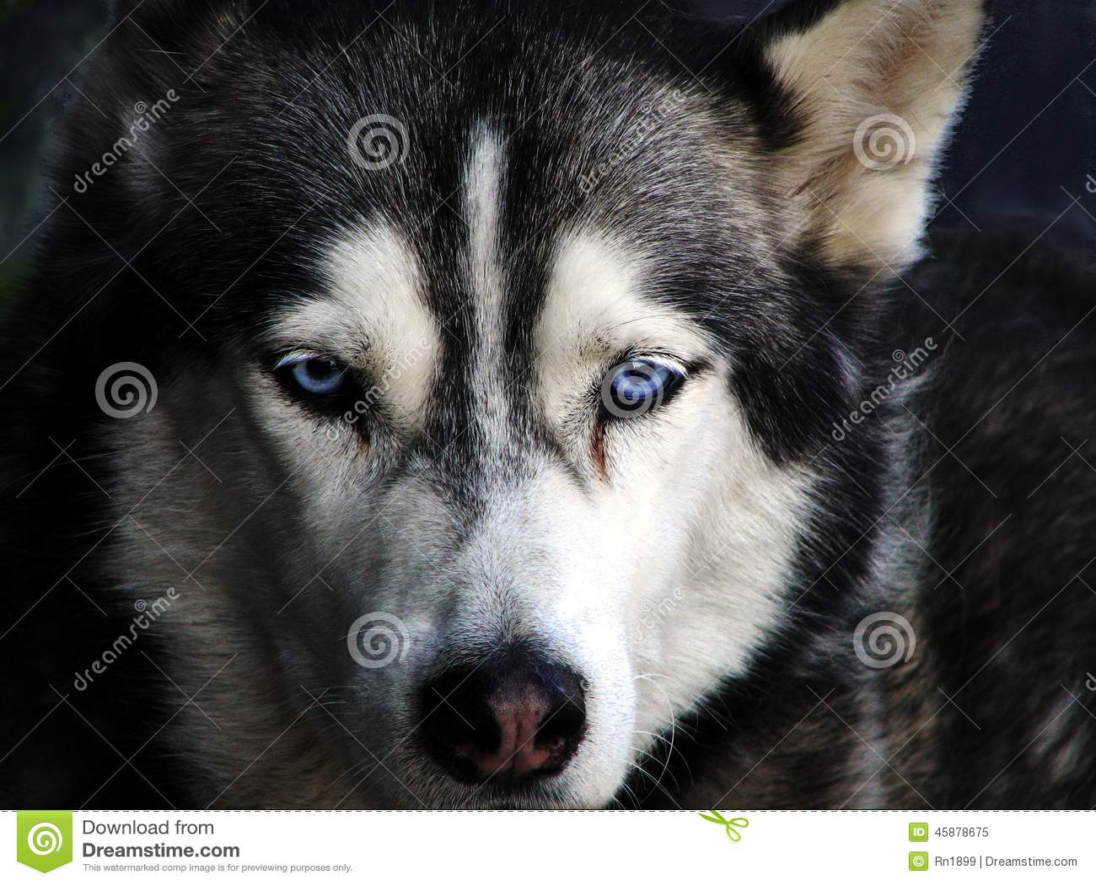 Un cane del husky siberiano con gli occhi azzurri immagine - Husky con occhi diversi ...