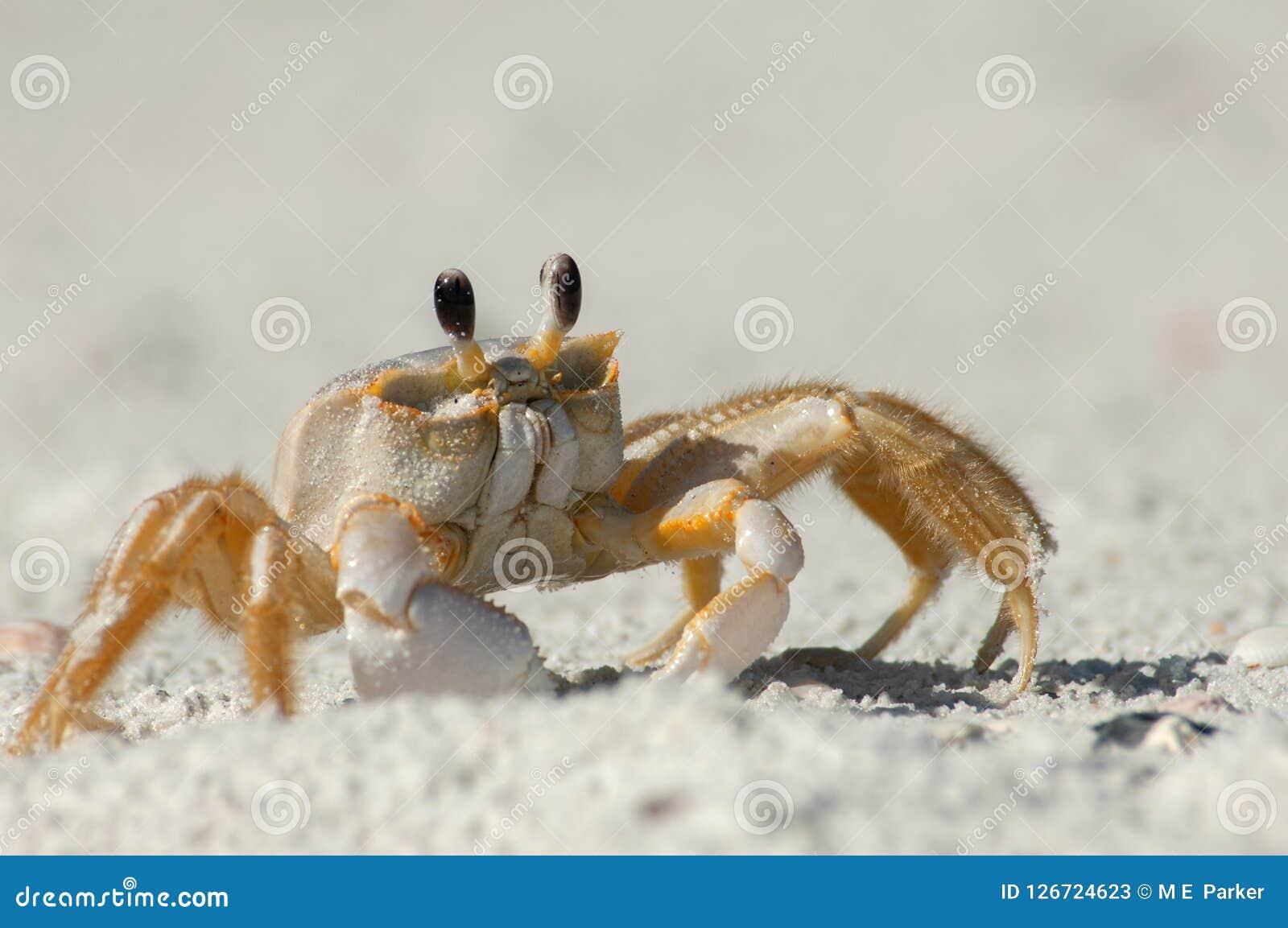 Un cangrejo del fantasma en la arena a lo largo del paso de Wiggins, la Florida