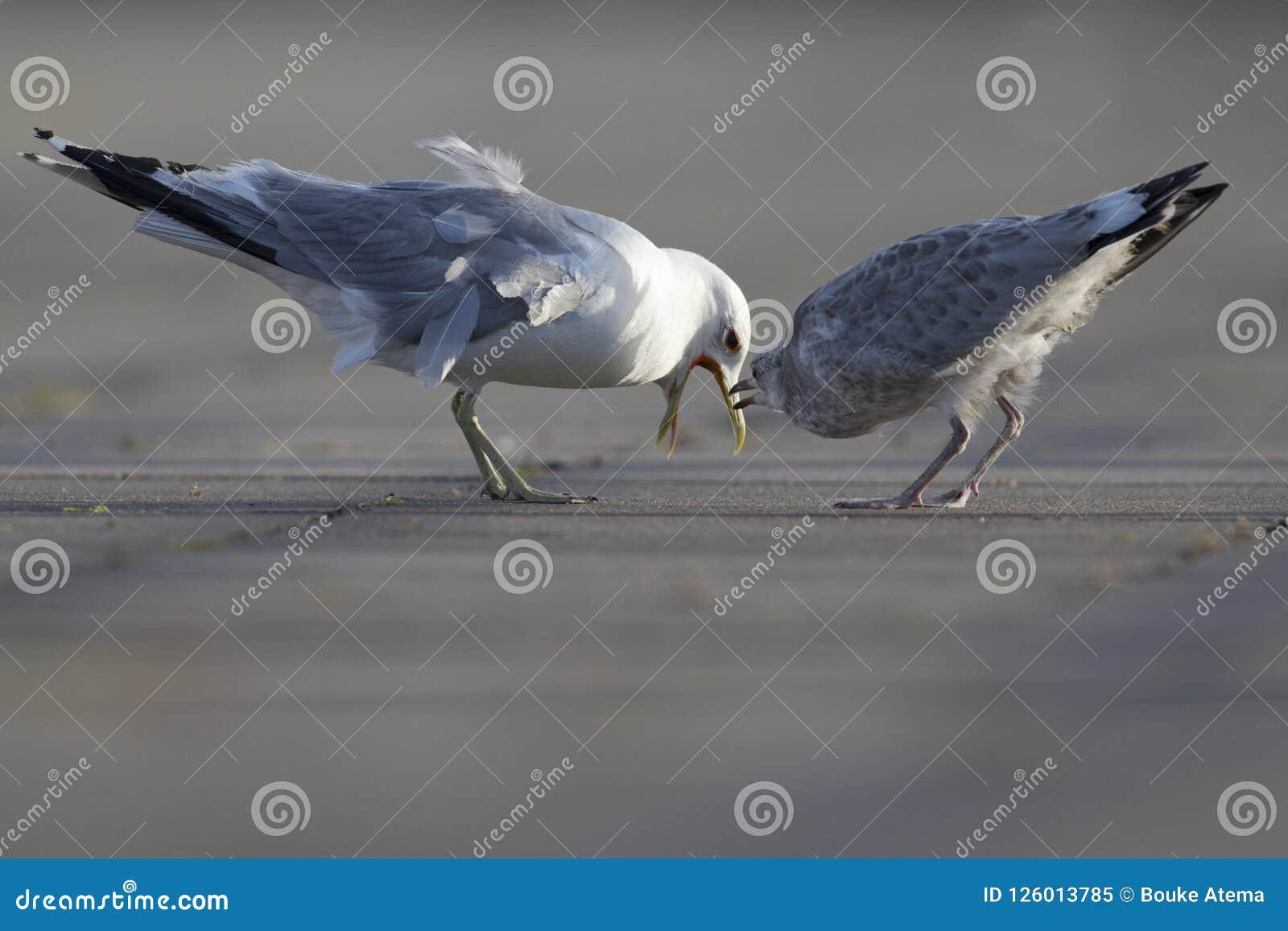 Un canus commun de gullLarus d adulte et de jeune agissant l un sur l autre sur un parking dans les ports de Brême Allemagne