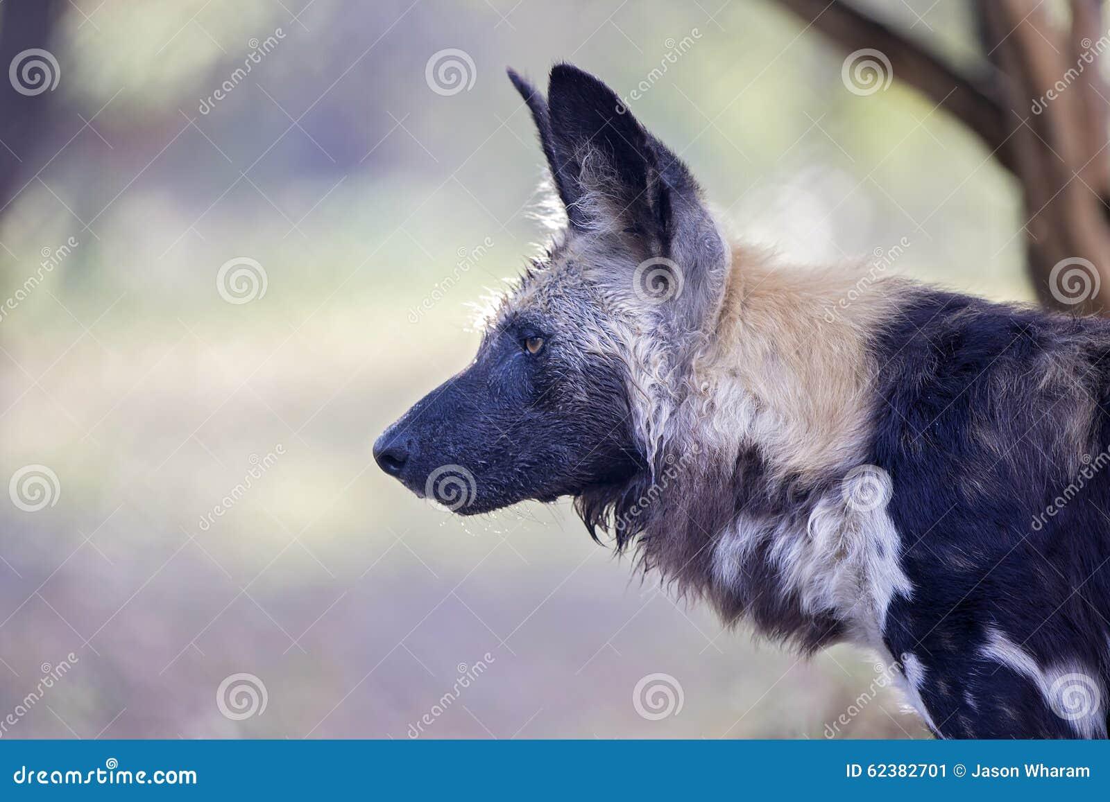 Chien Peint un cap africain sauvage/a peint le chien de chasse image stock