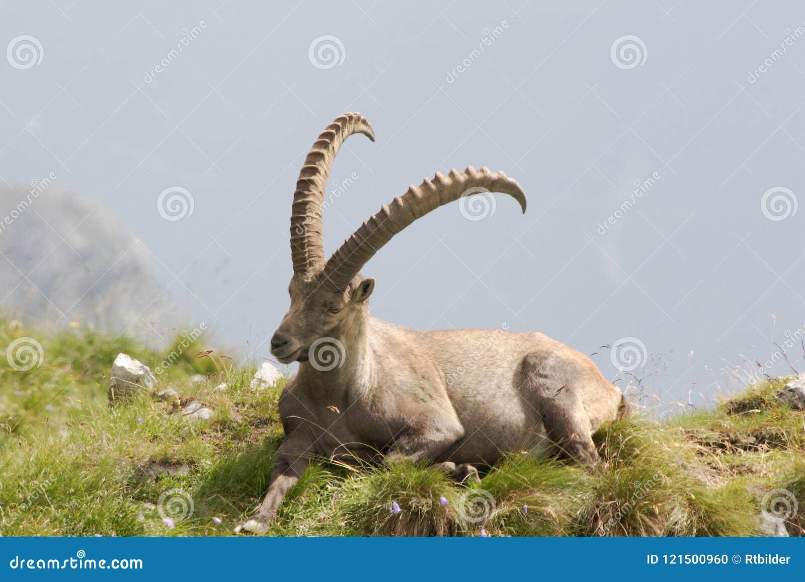 Un Capricorne sur une colline