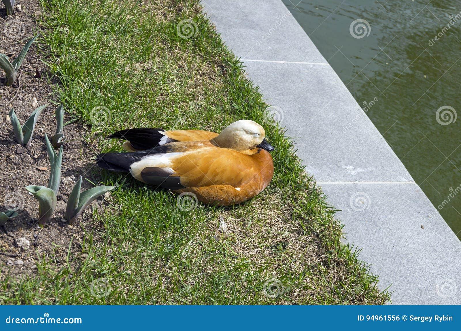 Un casarca che dorme sulla riva di uno stagno