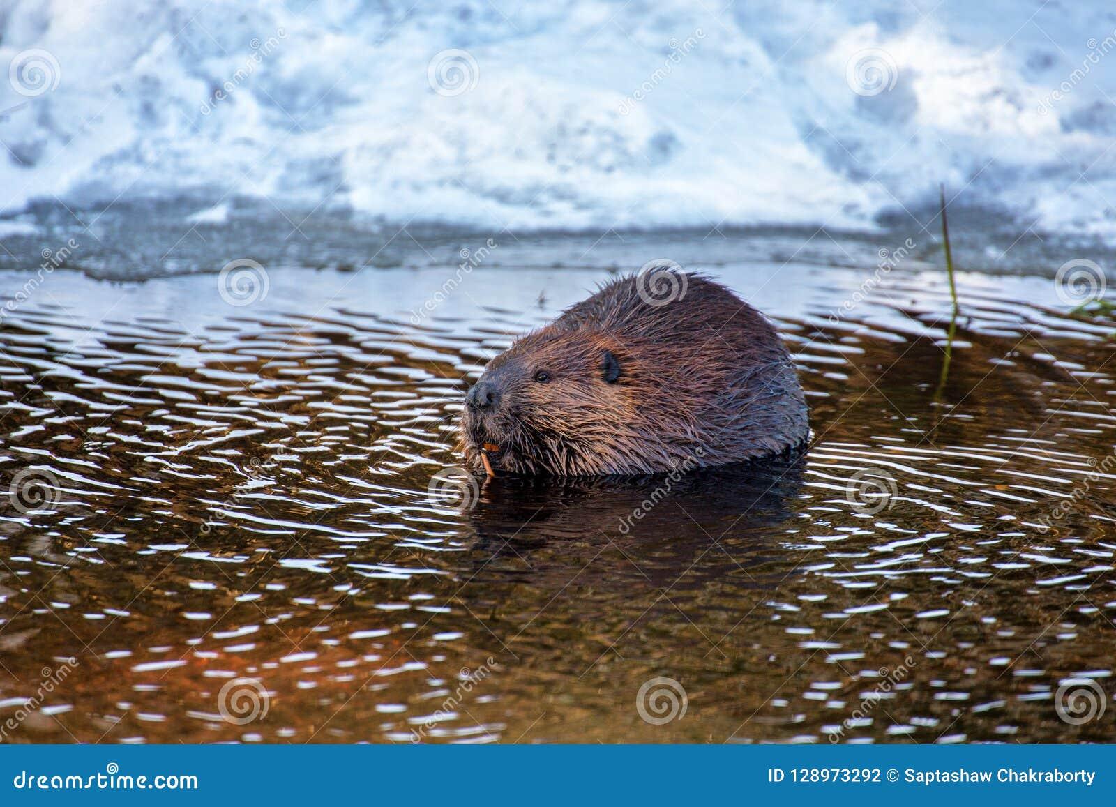 Un castor snacking sur un bâton dans l eau