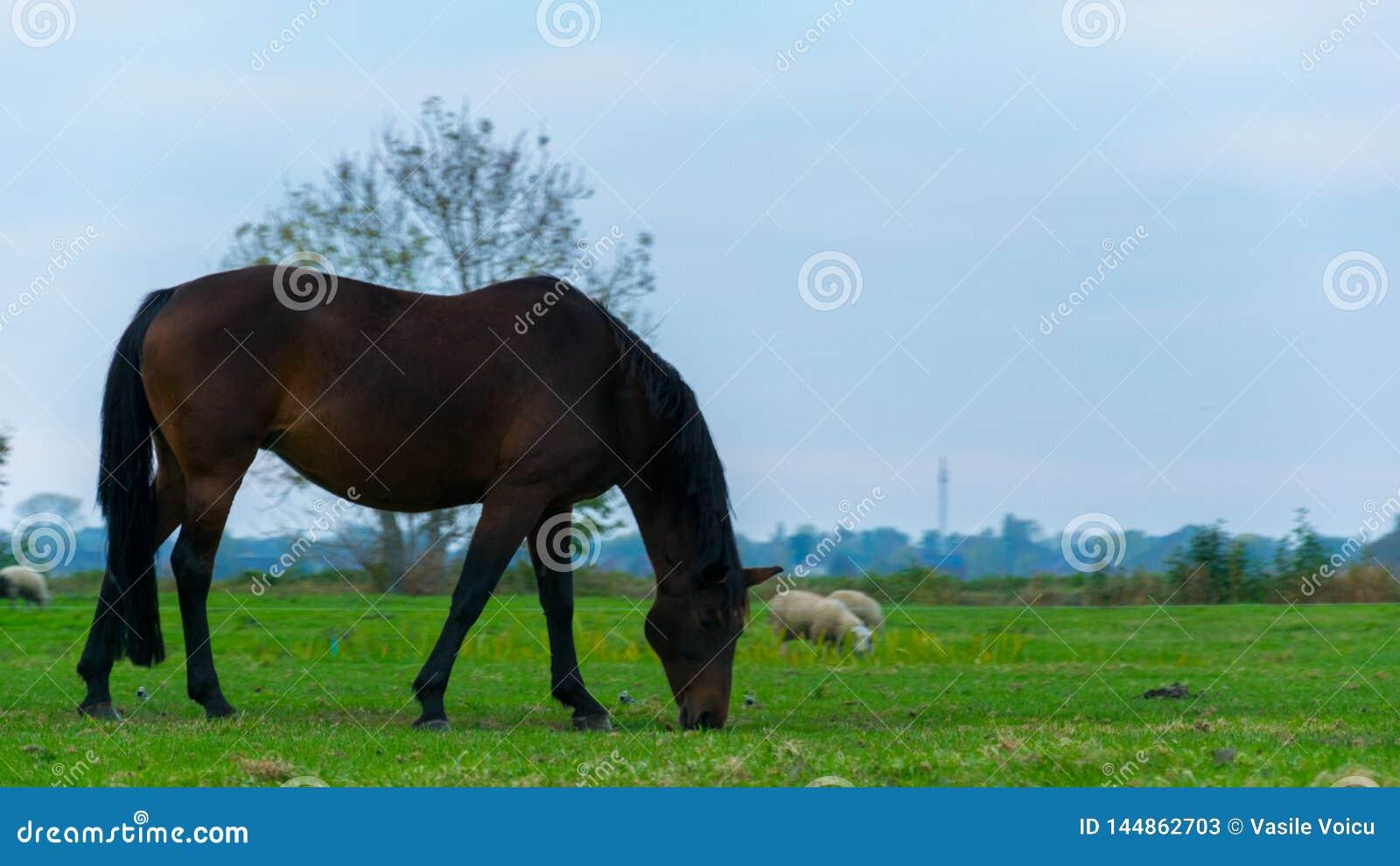Un cavallo nero che mangia erba sulla pianura di Giethoorn, Paesi Bassi