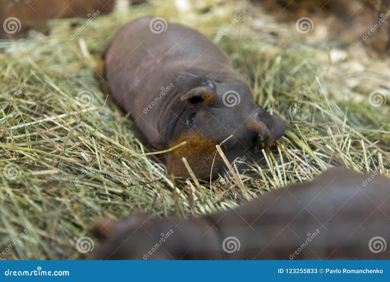 Un cavy maigre se reposant paisiblement sur le foin