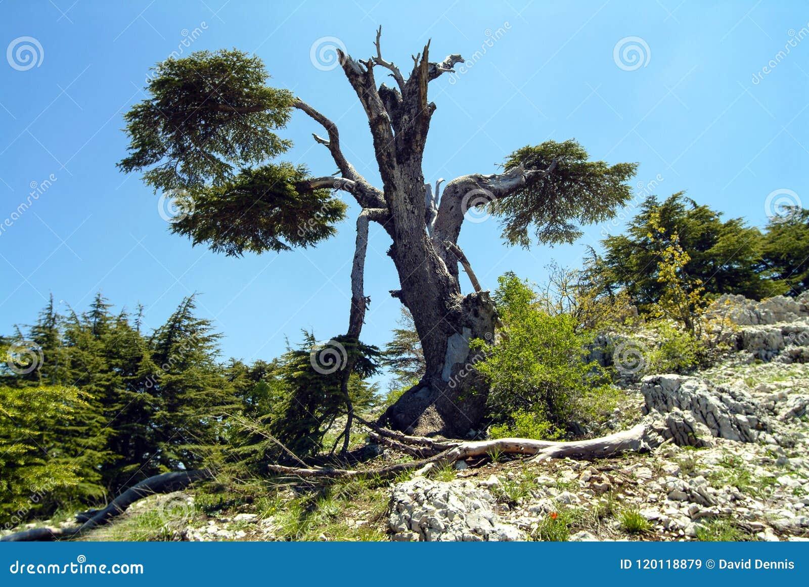 Un cedro dell albero che è stato colpito da fulmine nelle montagne della riserva di biosfera di Shouf, Libano di Libano