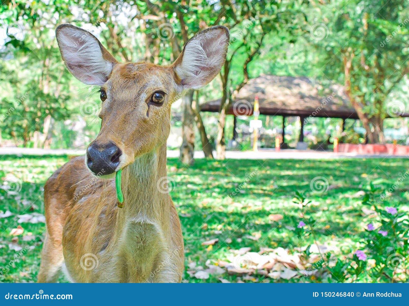 Un cerf commun se tient sur le champ vert