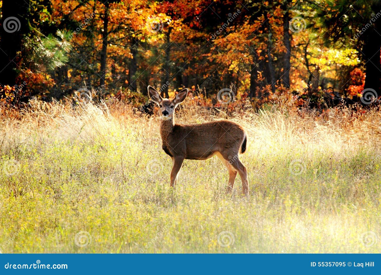 Un cervo di Whitetail attento
