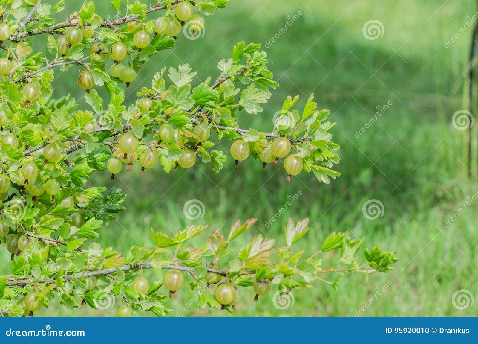 Un cespuglio delle bacche giallo verde mature dell uva spina con un gusto magnifico