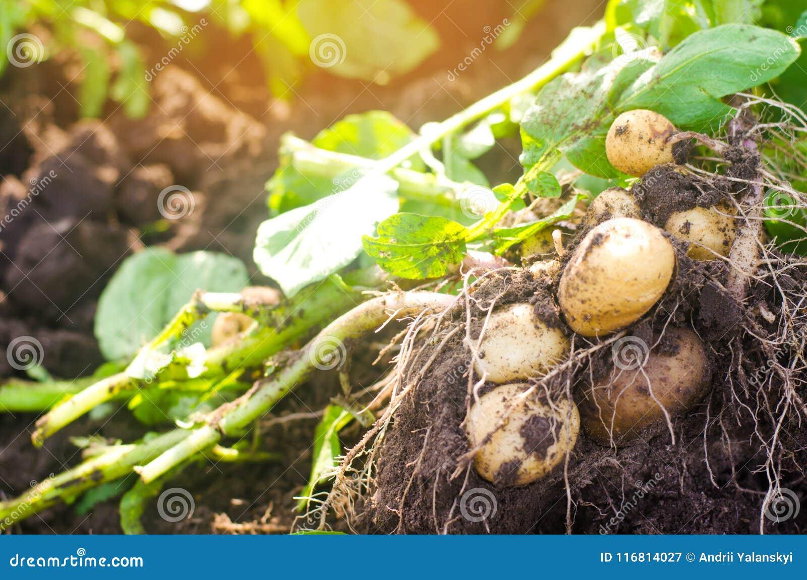 Un cespuglio di giovani patate gialle, raccogliente, ortaggi freschi, agro-cultura, coltivante, primo piano, buon raccolto, disin
