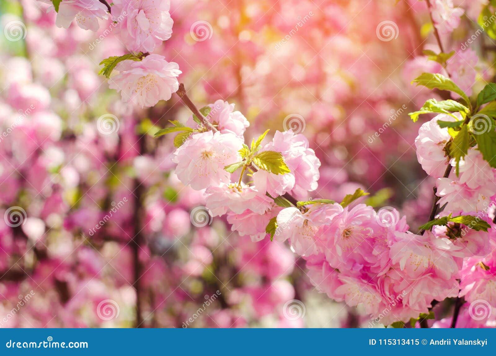 Carta Da Parati Fiori Di Ciliegio : Un cespuglio di rose fiorisce in primavera con i fiori rosa carta