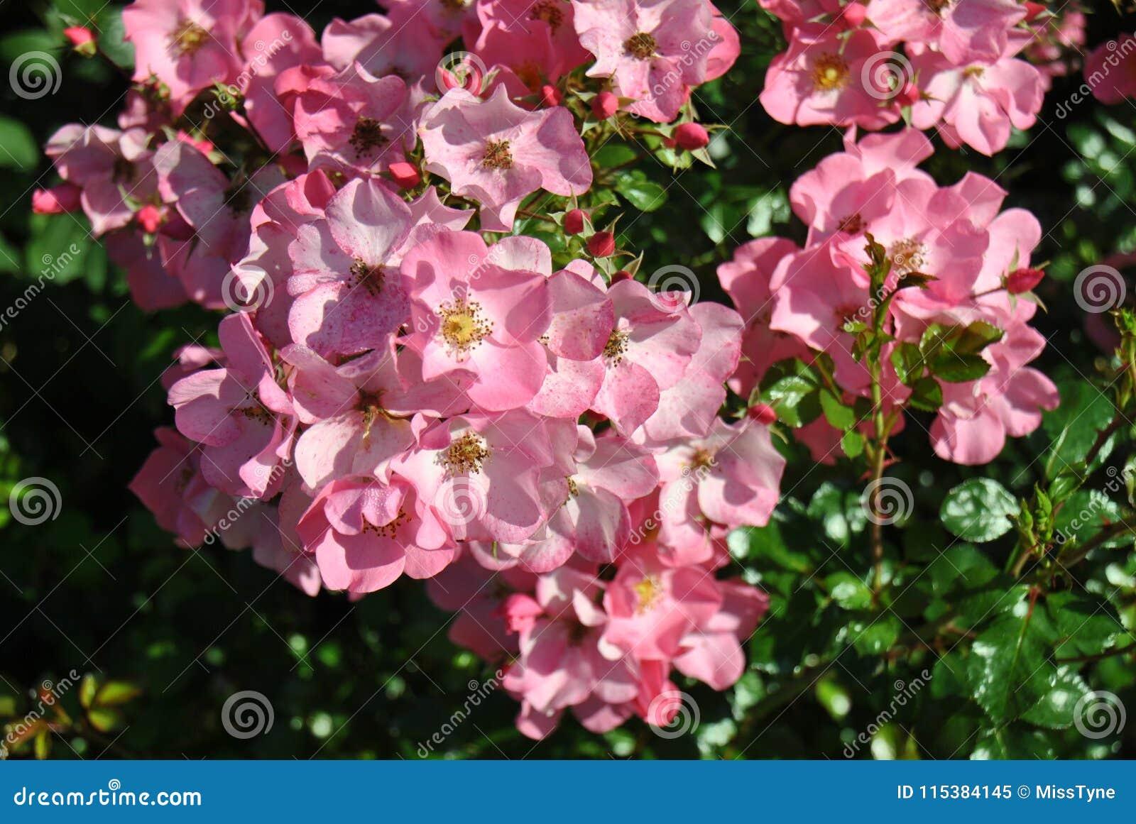 Un cespuglio in pieno dei fiori rosa